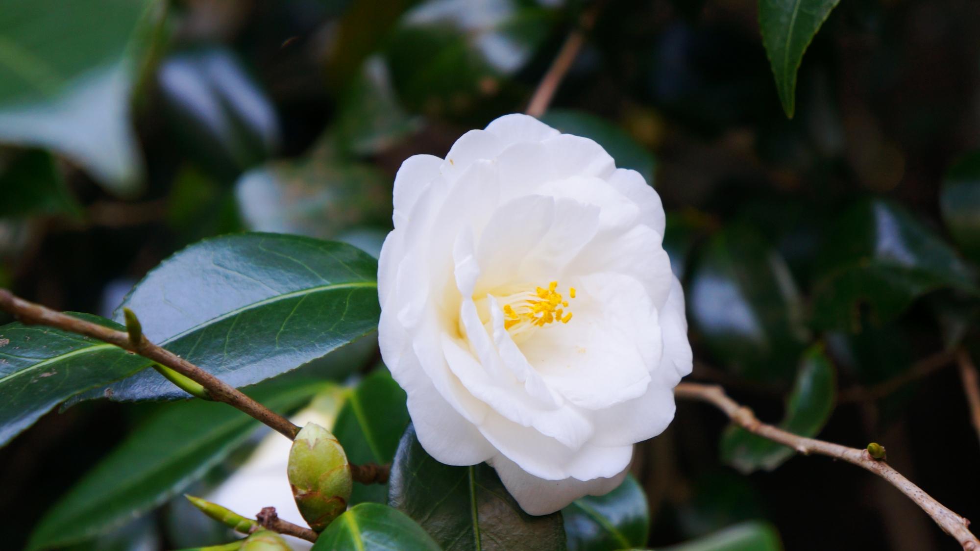 華やかな真っ白な椿