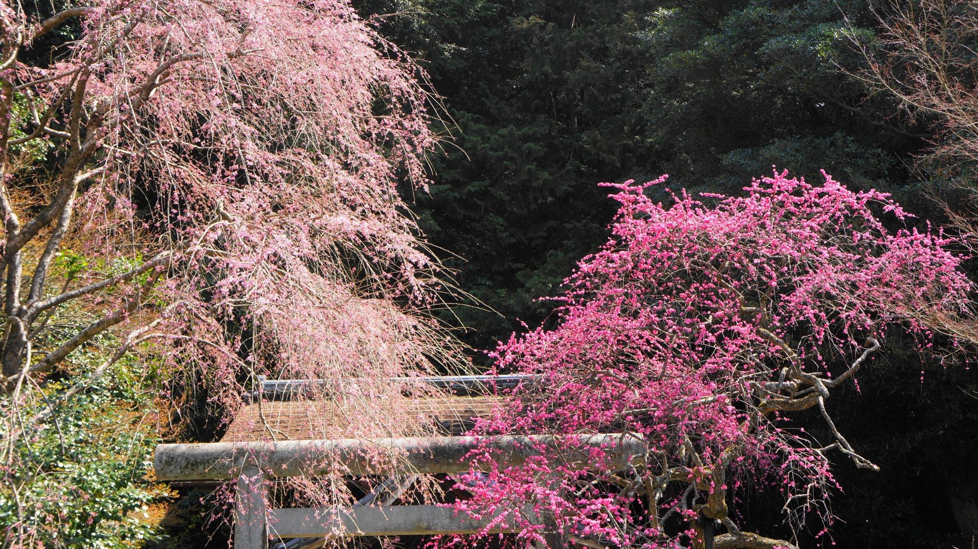 何年かに一度は同時に満開になるしだれ梅としだれ桜
