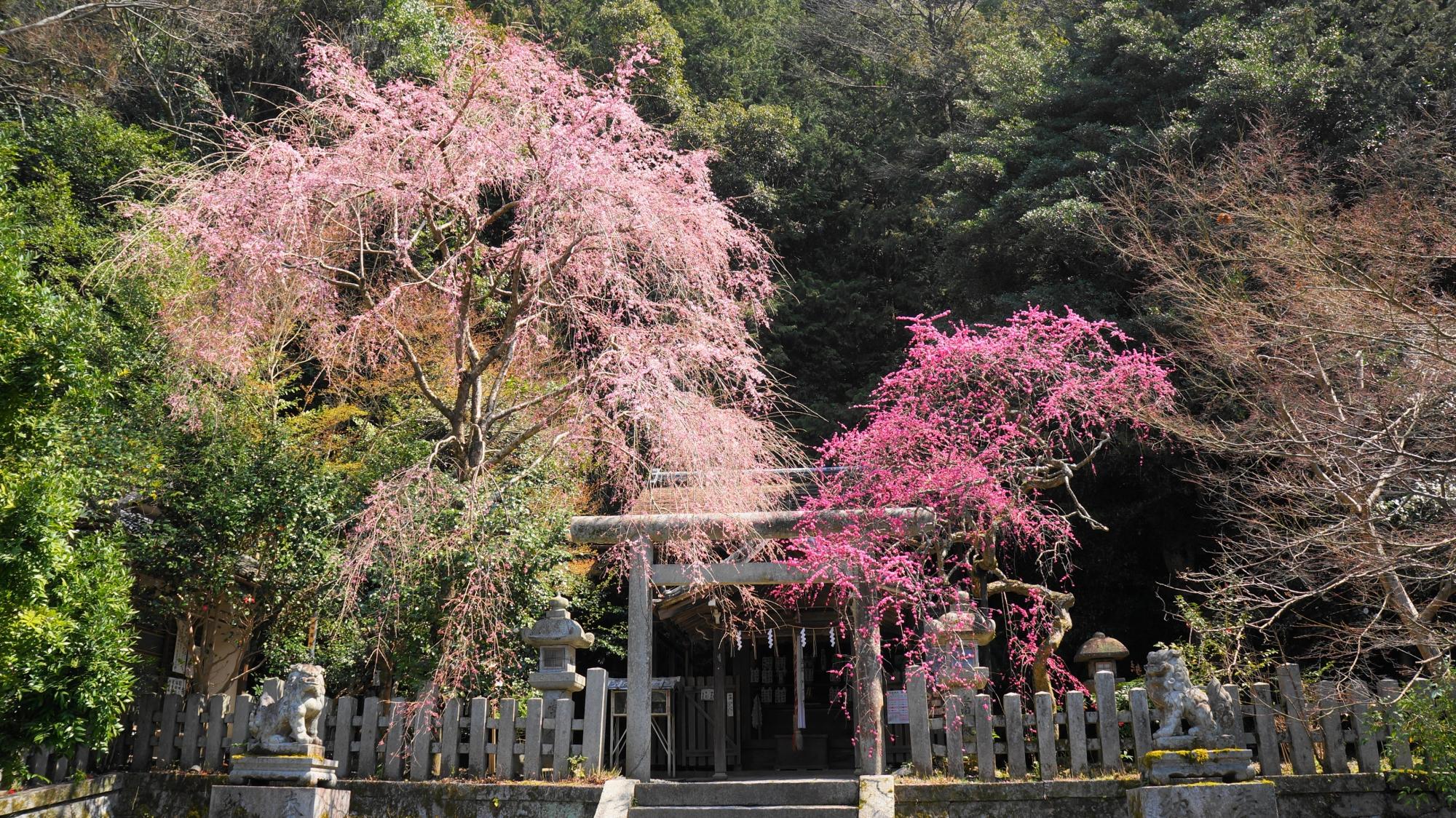 大豊神社の本殿前のしだれ梅としだれ桜