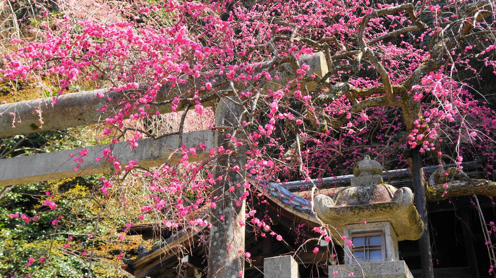 大豊神社の鮮やかなしだれ梅