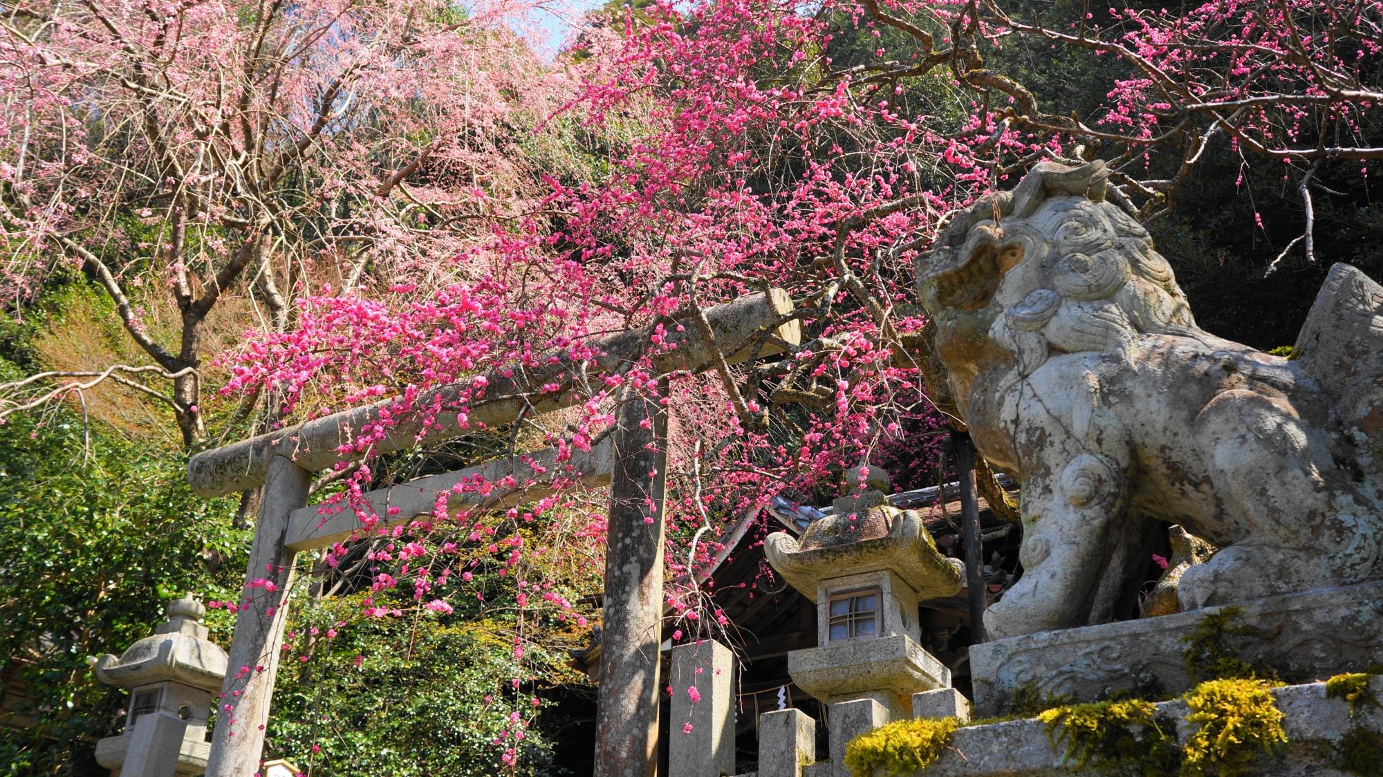 満開のしだれ梅を背景にした狛犬