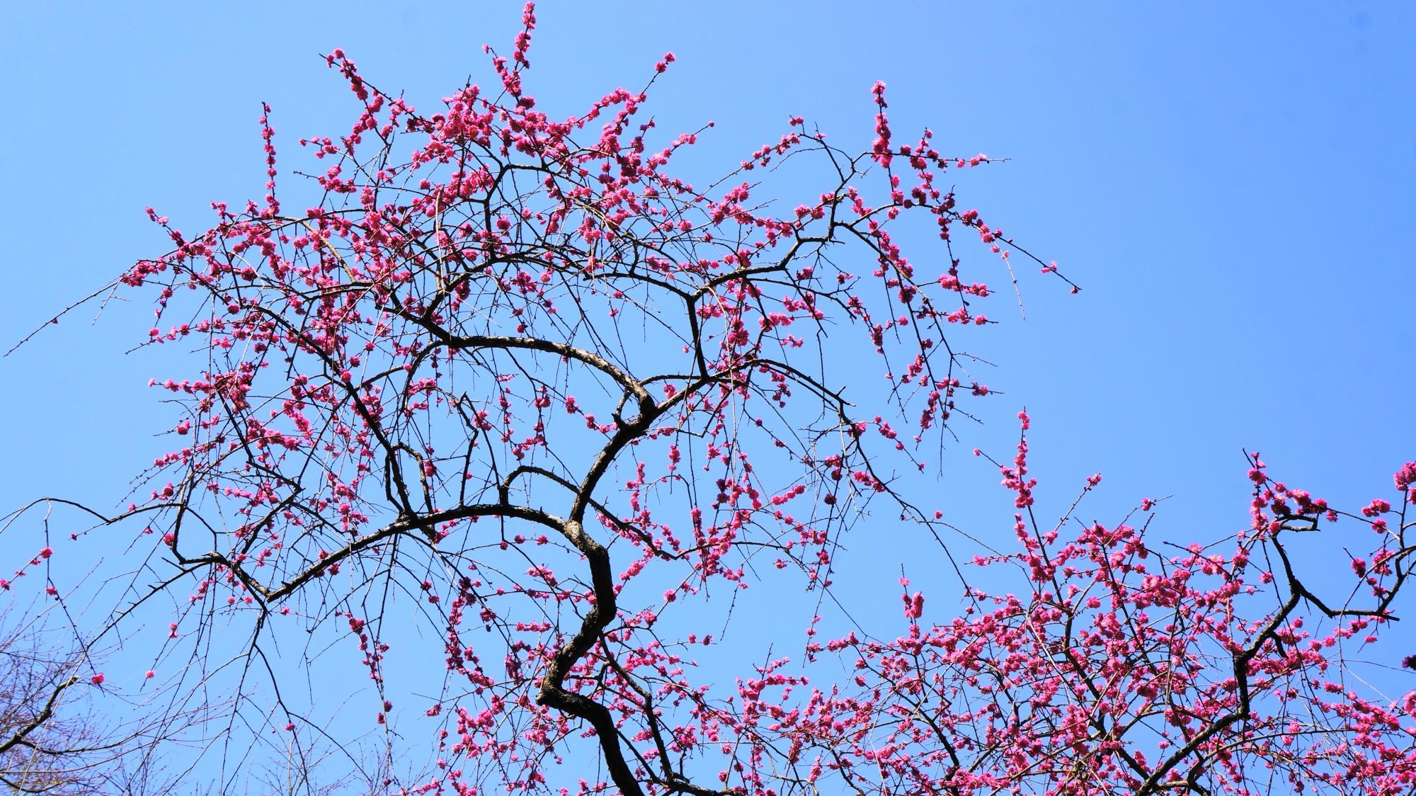 いろんな方向にカクカクと伸びる梅の枝