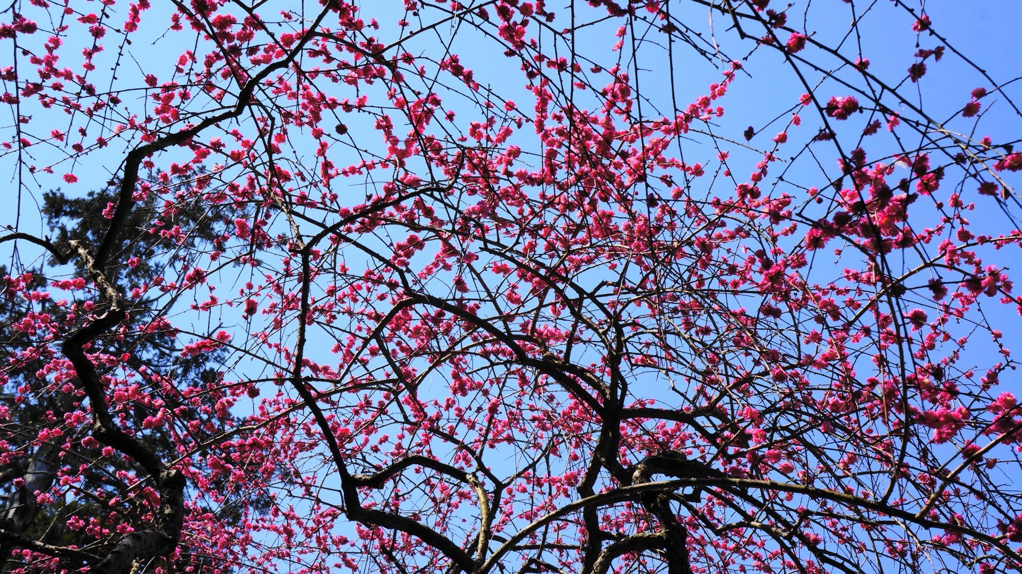 春先の空を彩る鮮やかなしだれ梅