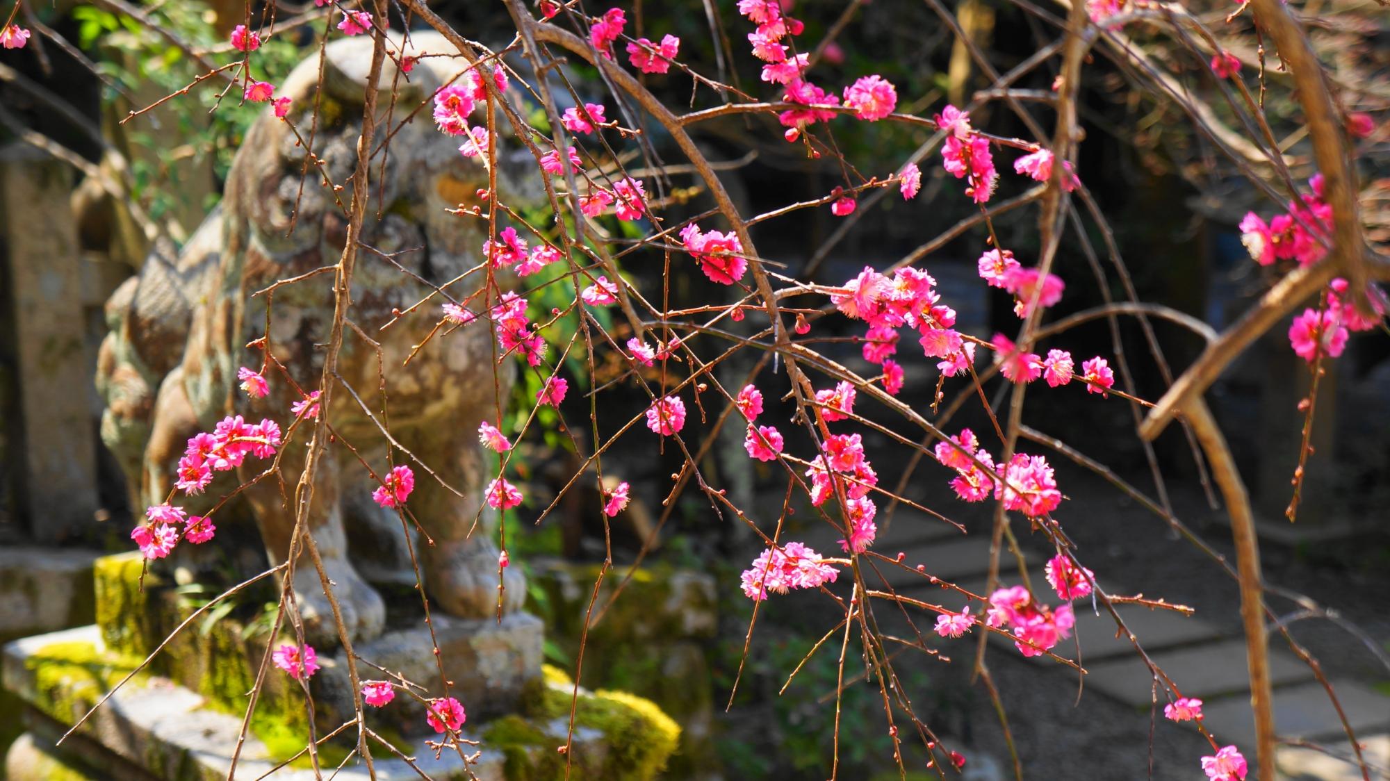 狛犬をつつむ華やかな梅の花