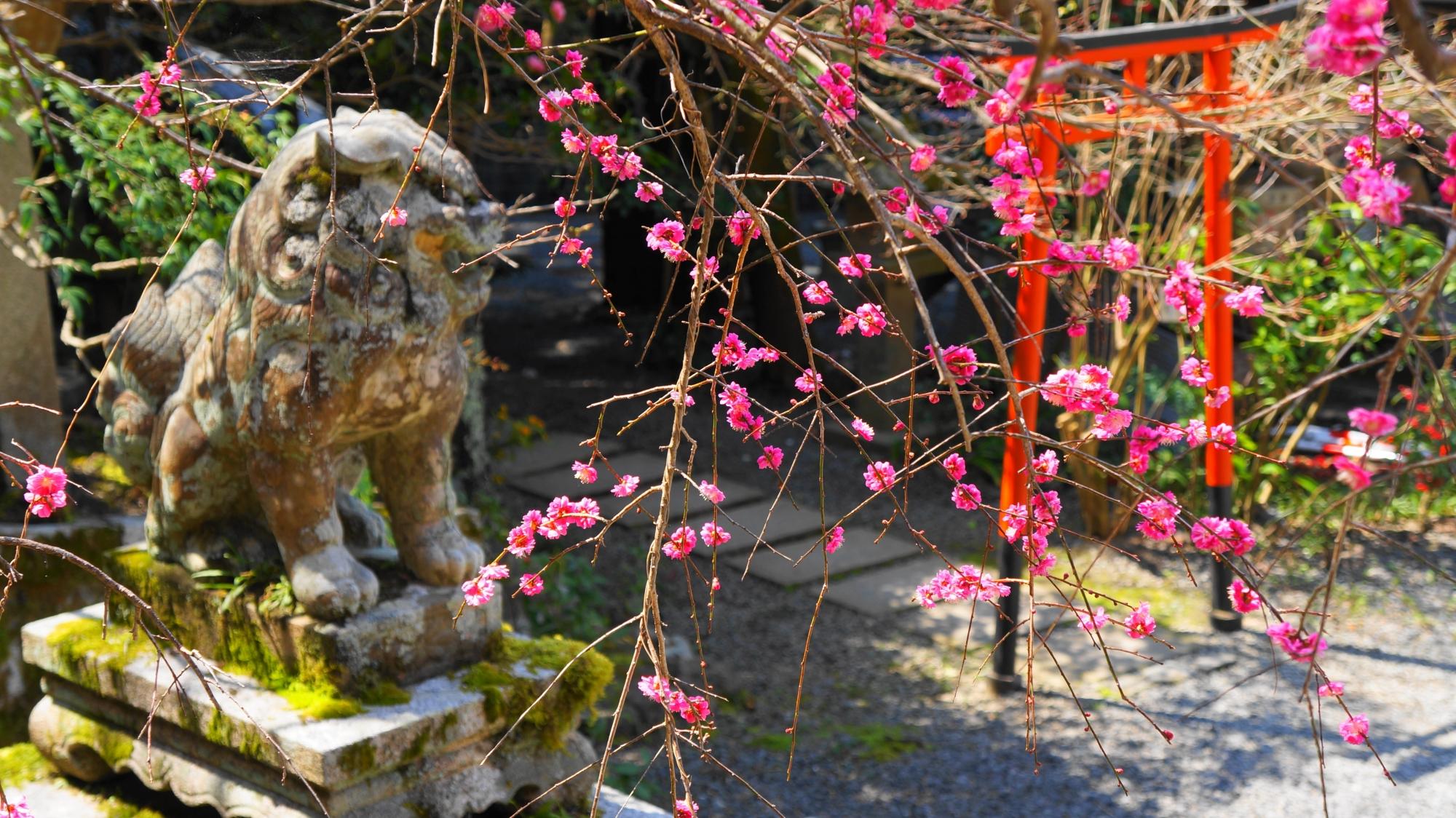 大豊神社の本殿側から眺めたしだれ梅と狛犬