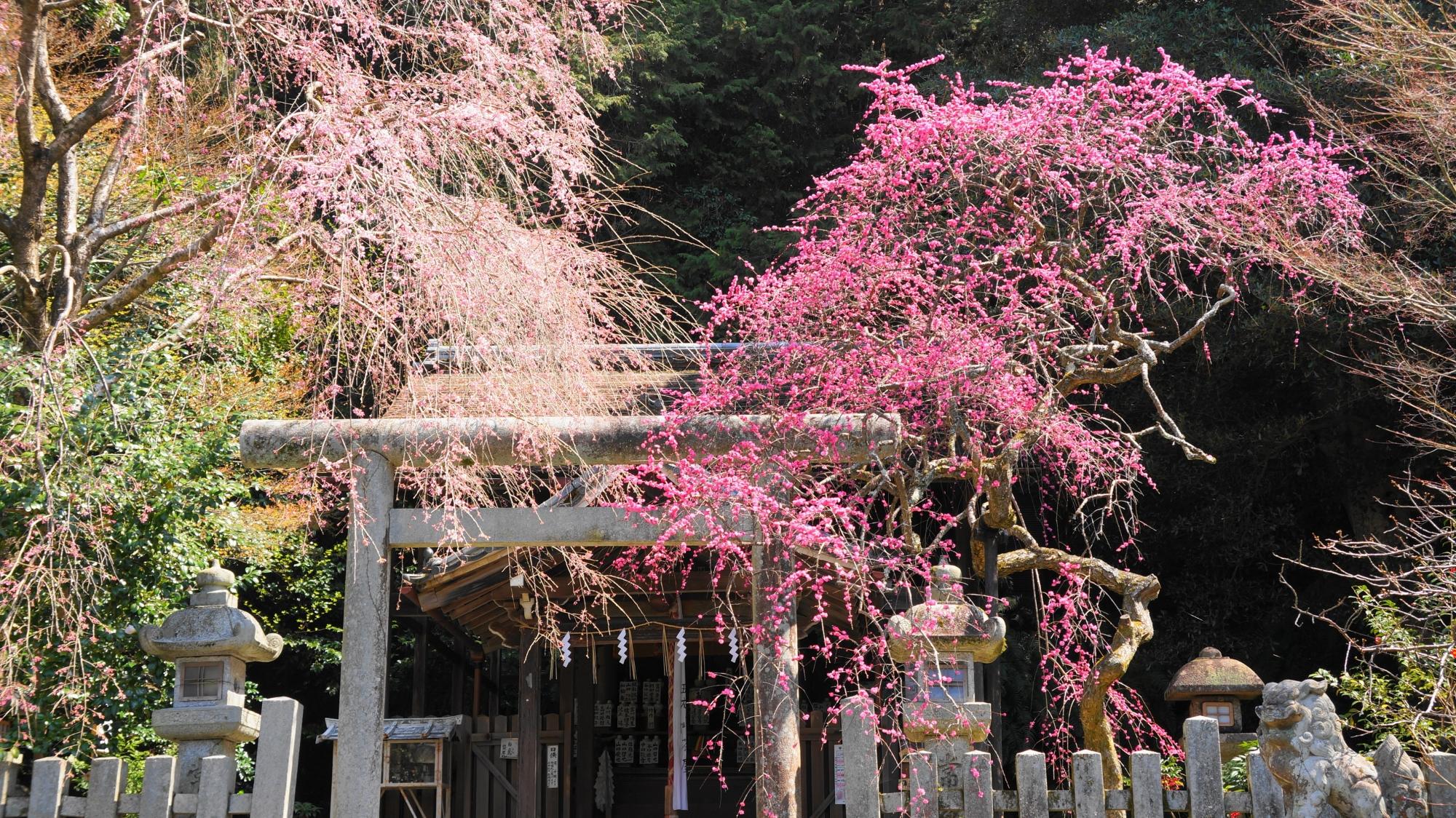 一対をなす大豊神社の梅と桜