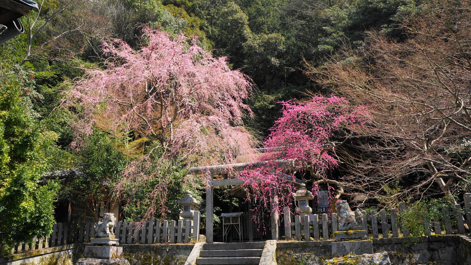 大豊神社の素晴らしいしだれ梅と春の情景