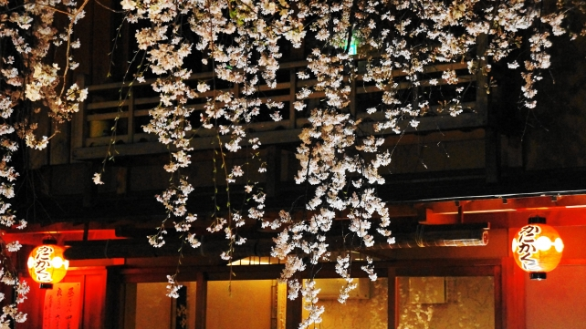 Gion Shirakawa Kyoto cherry blossoms light up spring 祇園白川 宵桜 ライトアップ 春