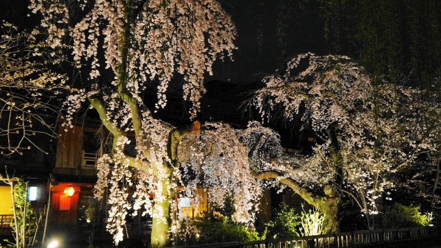 Kyoto Gion Shirakawa weeping cherry tree light up spring ぎおんしらかわ しだれ桜