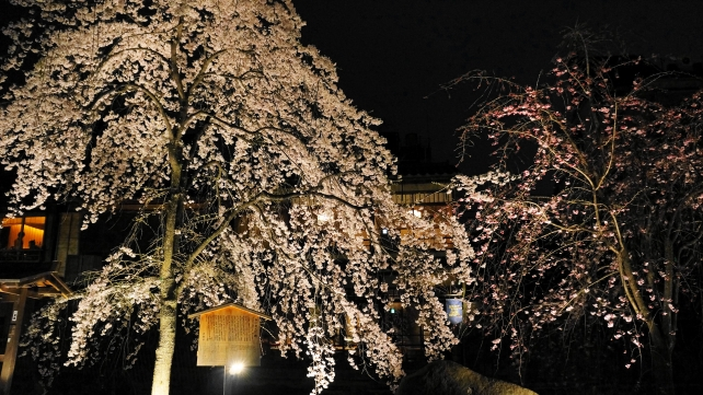 Kyoto Giwon Shirakawa weeping cherry tree light up spring