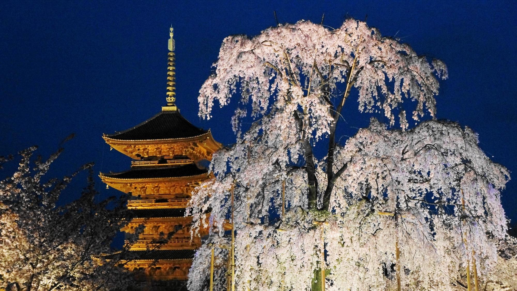 豪快に咲く不二桜と五重塔のライトアップ