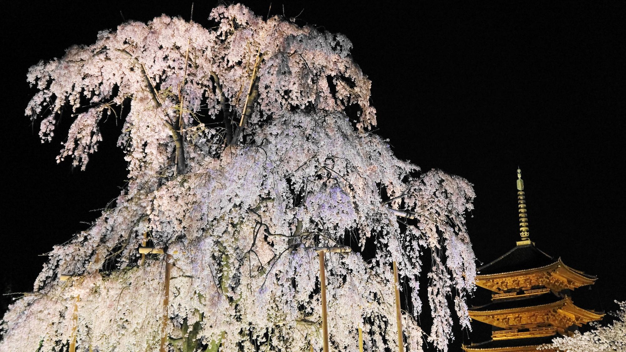 豪快で妖艶な桜