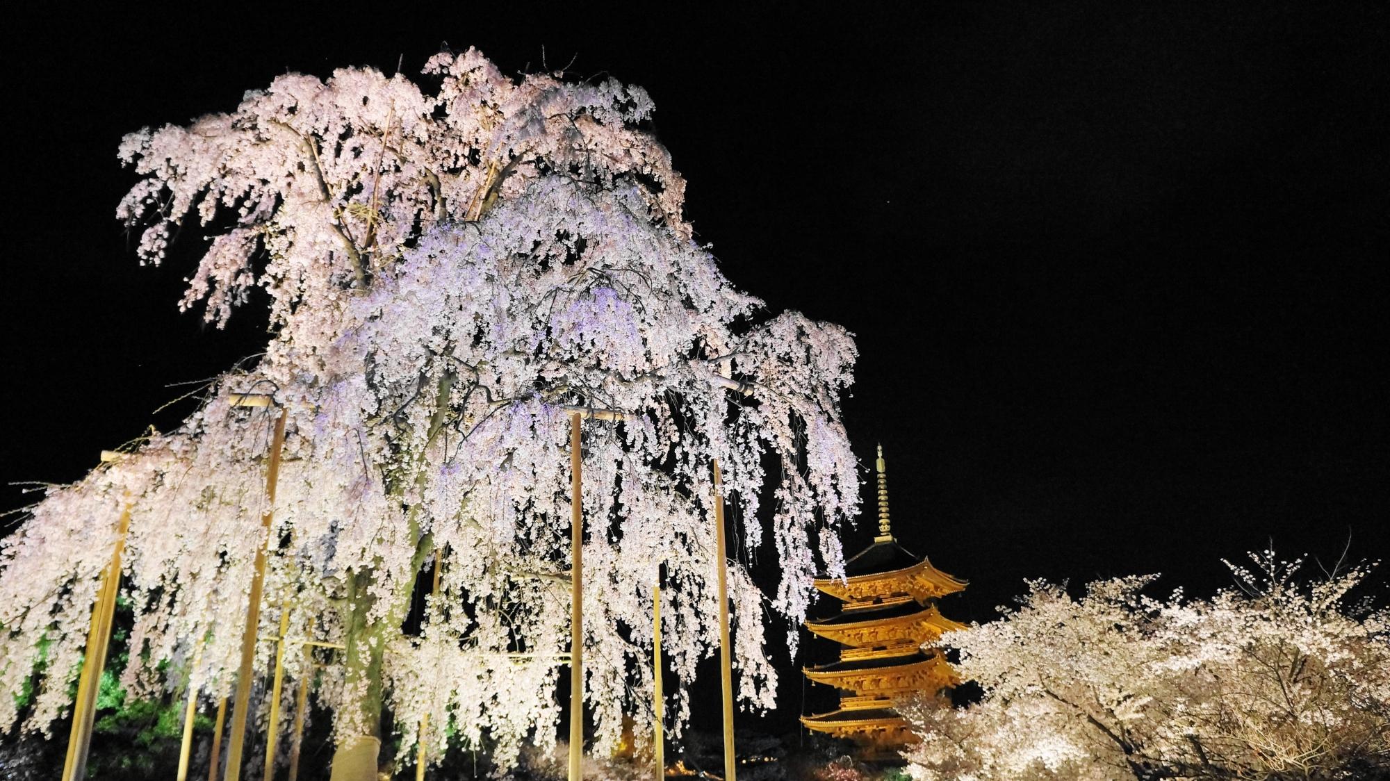 東寺の素晴らしい夜桜ライトアップと春の情景