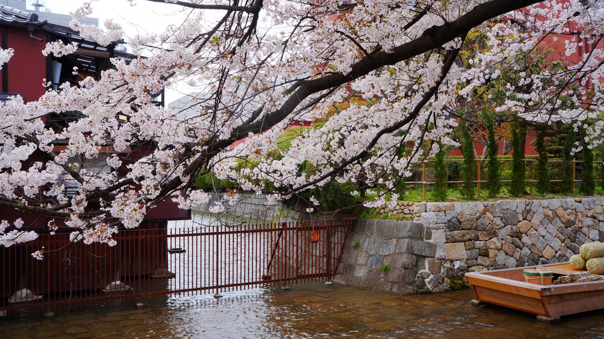水面にせり出して豪快に咲く桜
