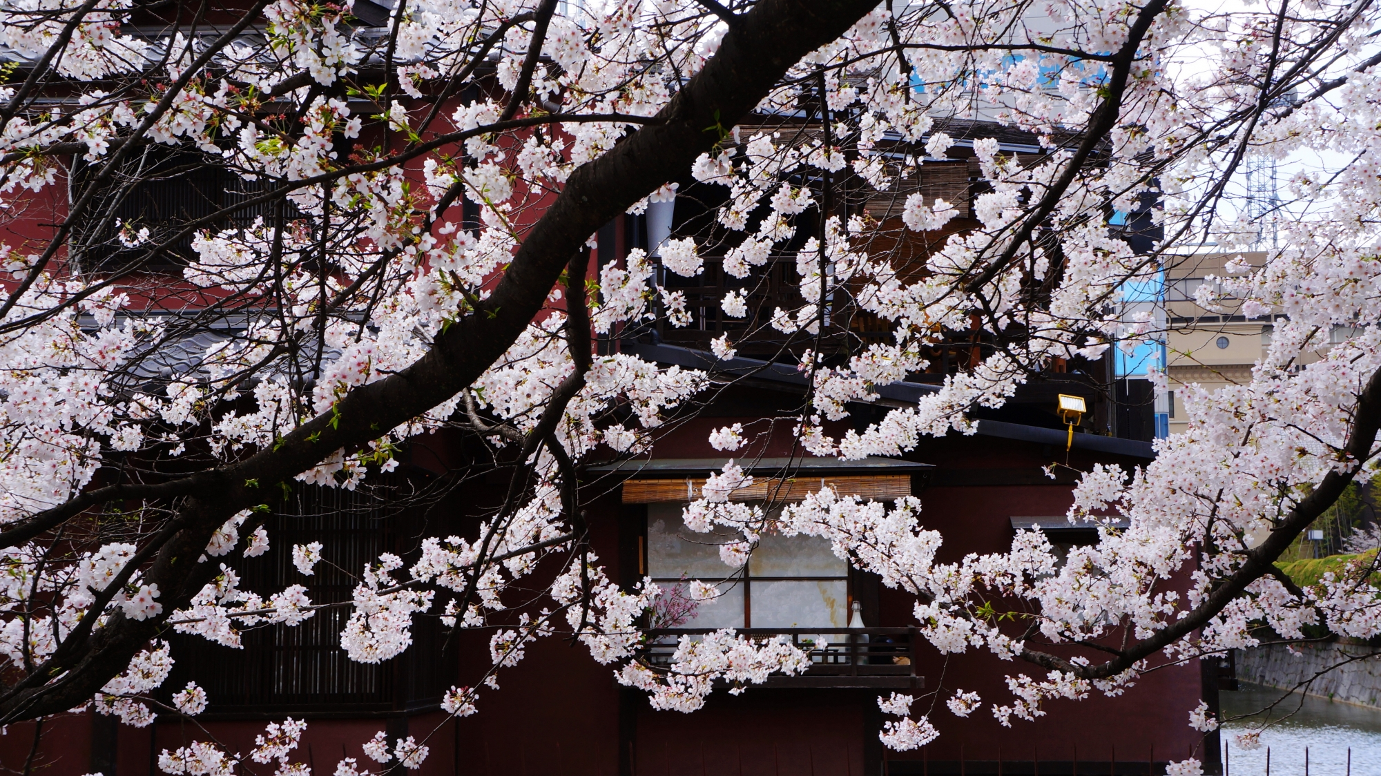 周辺の建物を彩る華やかなピンクの桜