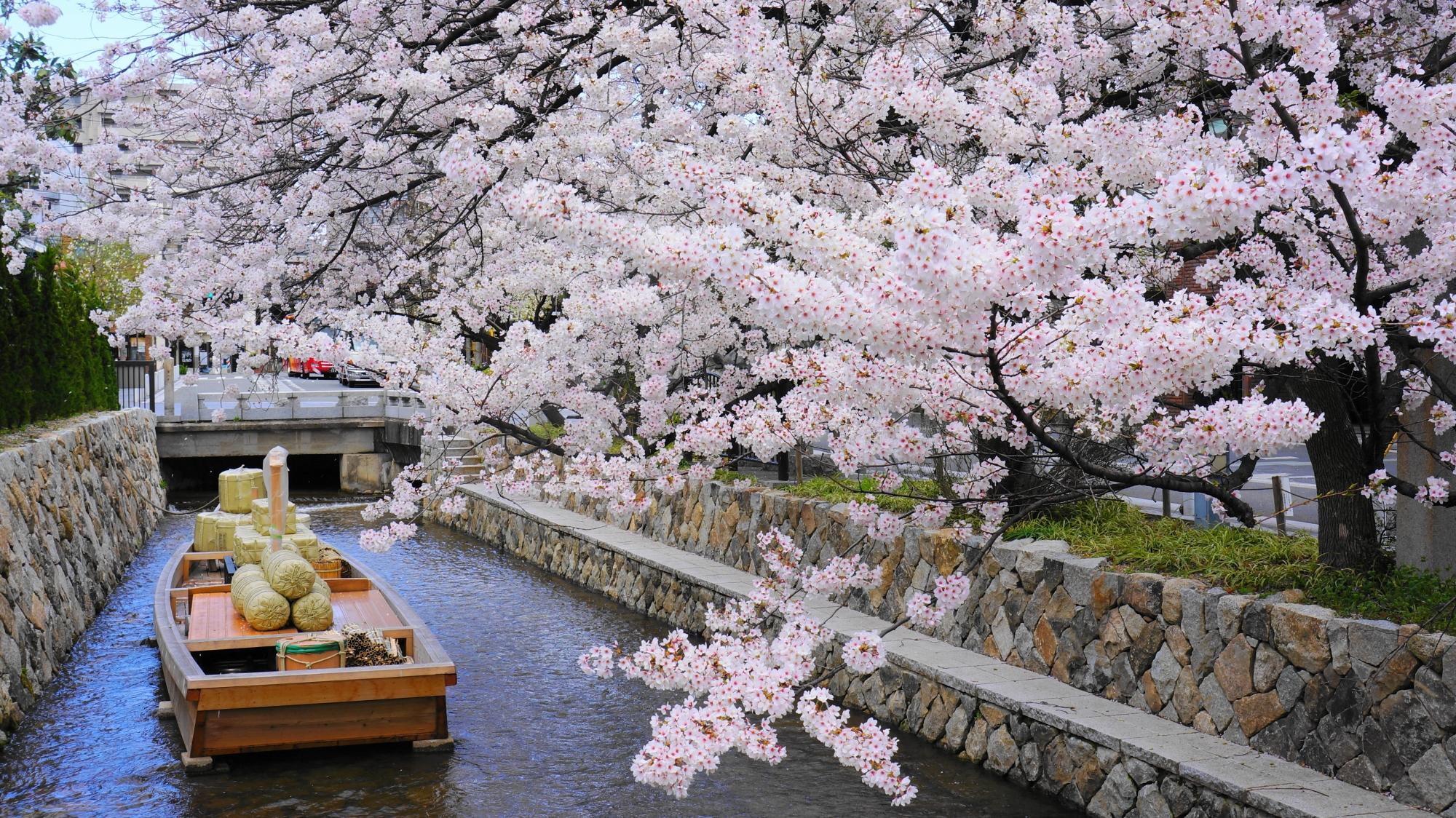 咲き乱れる満開のソメイヨシノ