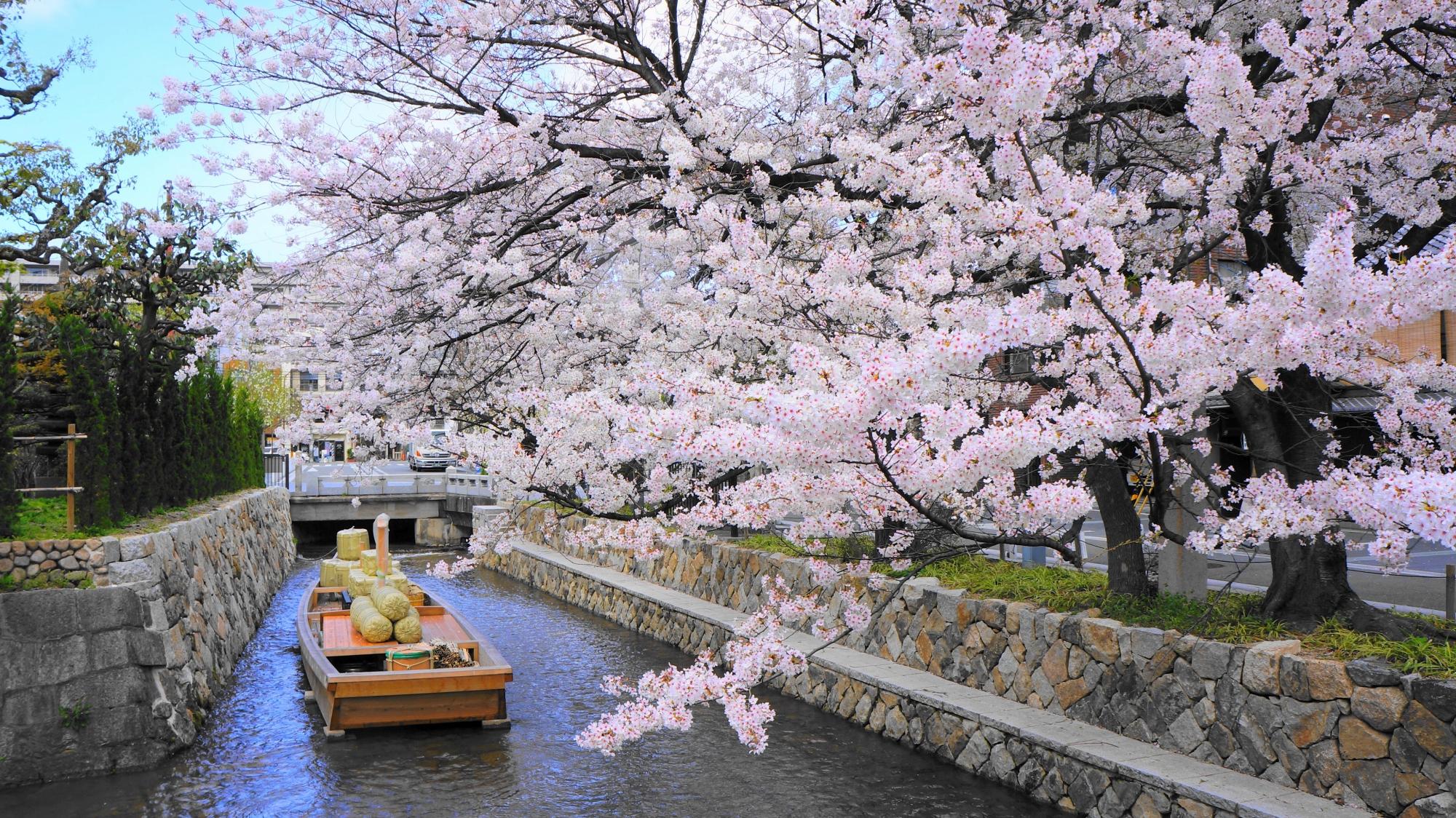 絶妙に合う風情ある高瀬舟と華やかな桜