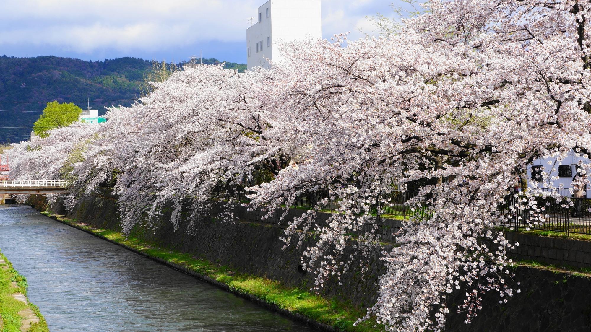 琵琶湖疏水に溢れ出す満開の桜