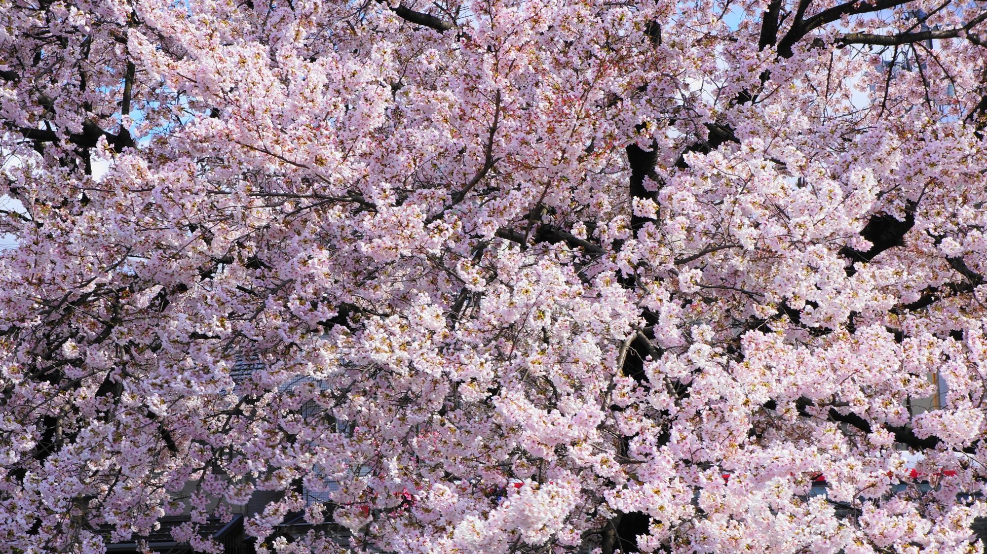 弾け飛びそうなくらい満開の桜の花