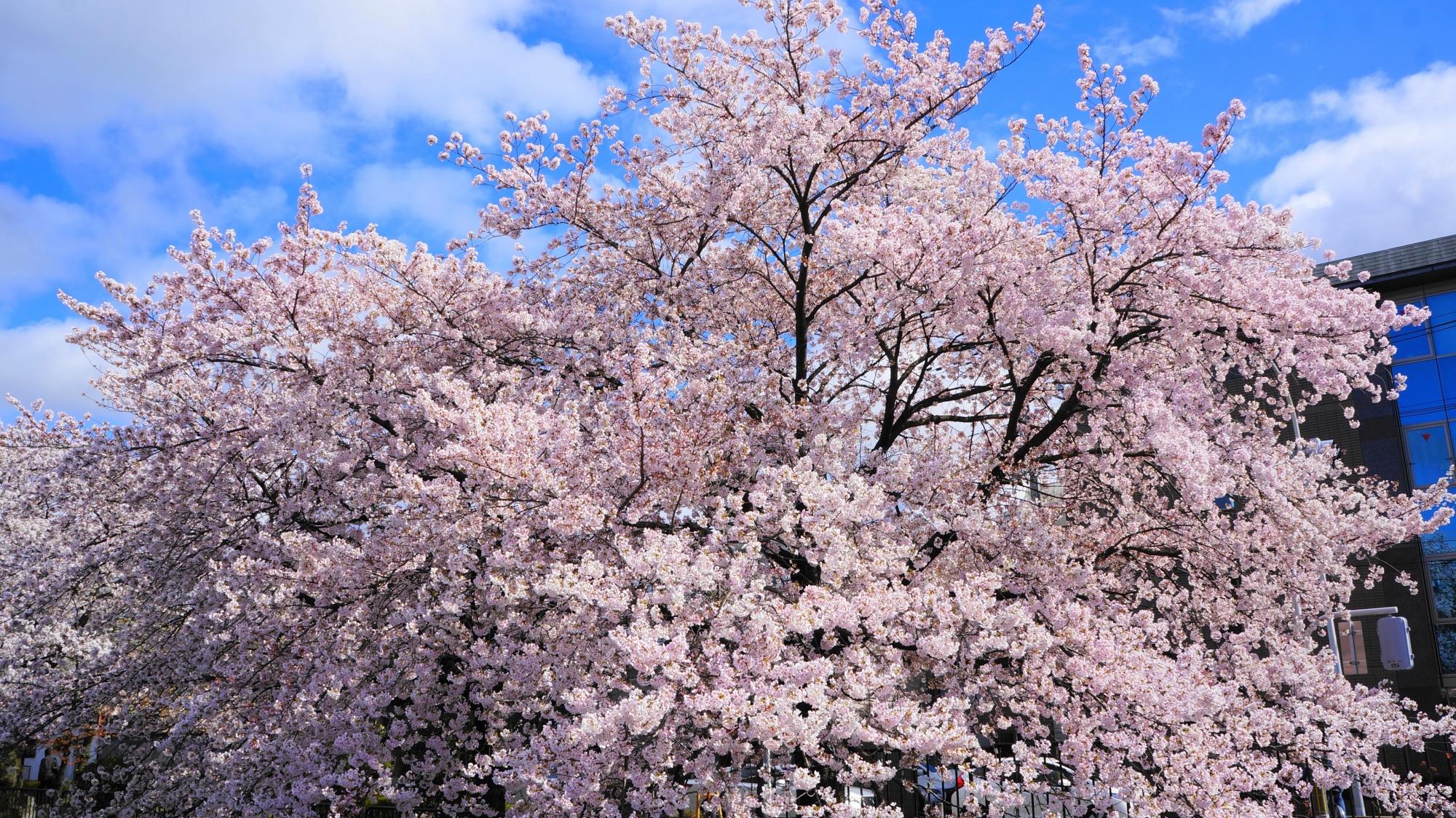 豪快に咲き誇る冷泉通りの桜