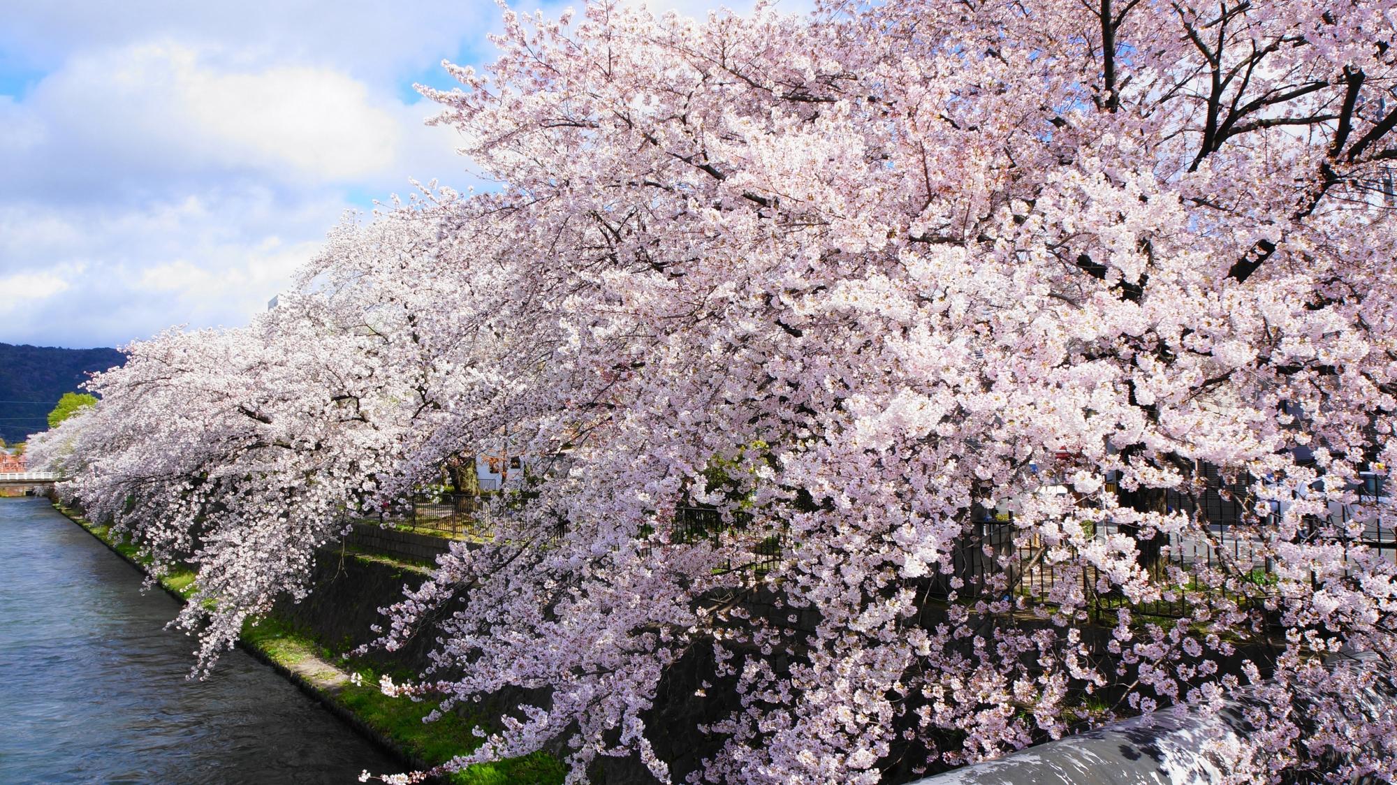 川端通沿いの琵琶湖疏水の桜