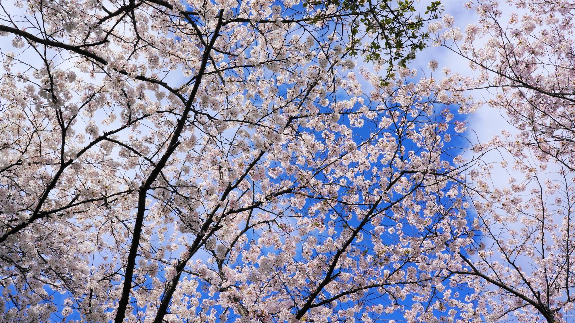 青空を華やかなピンクに染める桜