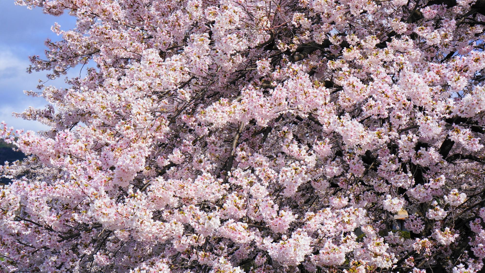圧倒的な春色の琵琶湖疏水
