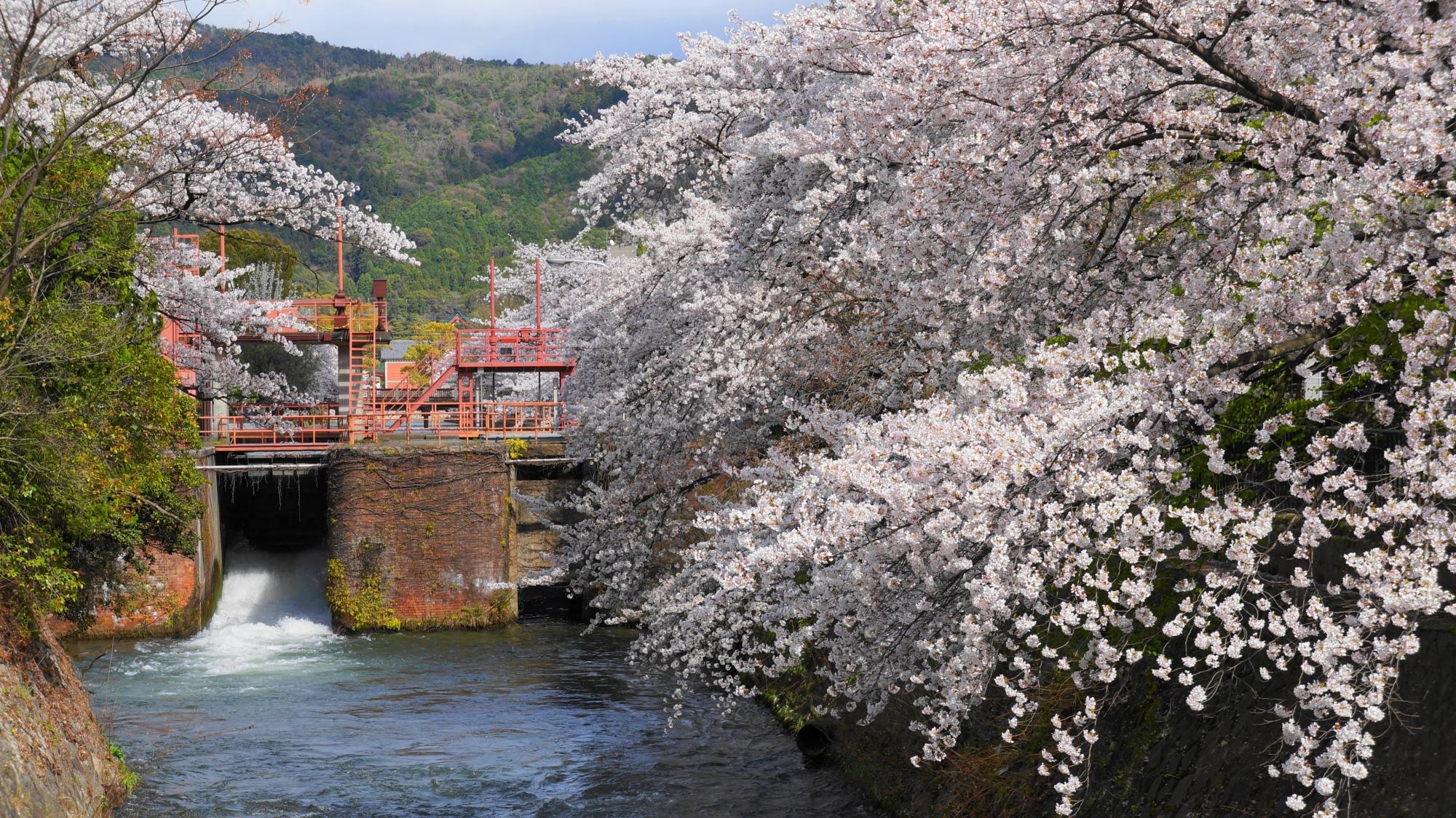 夷川発電所と桜