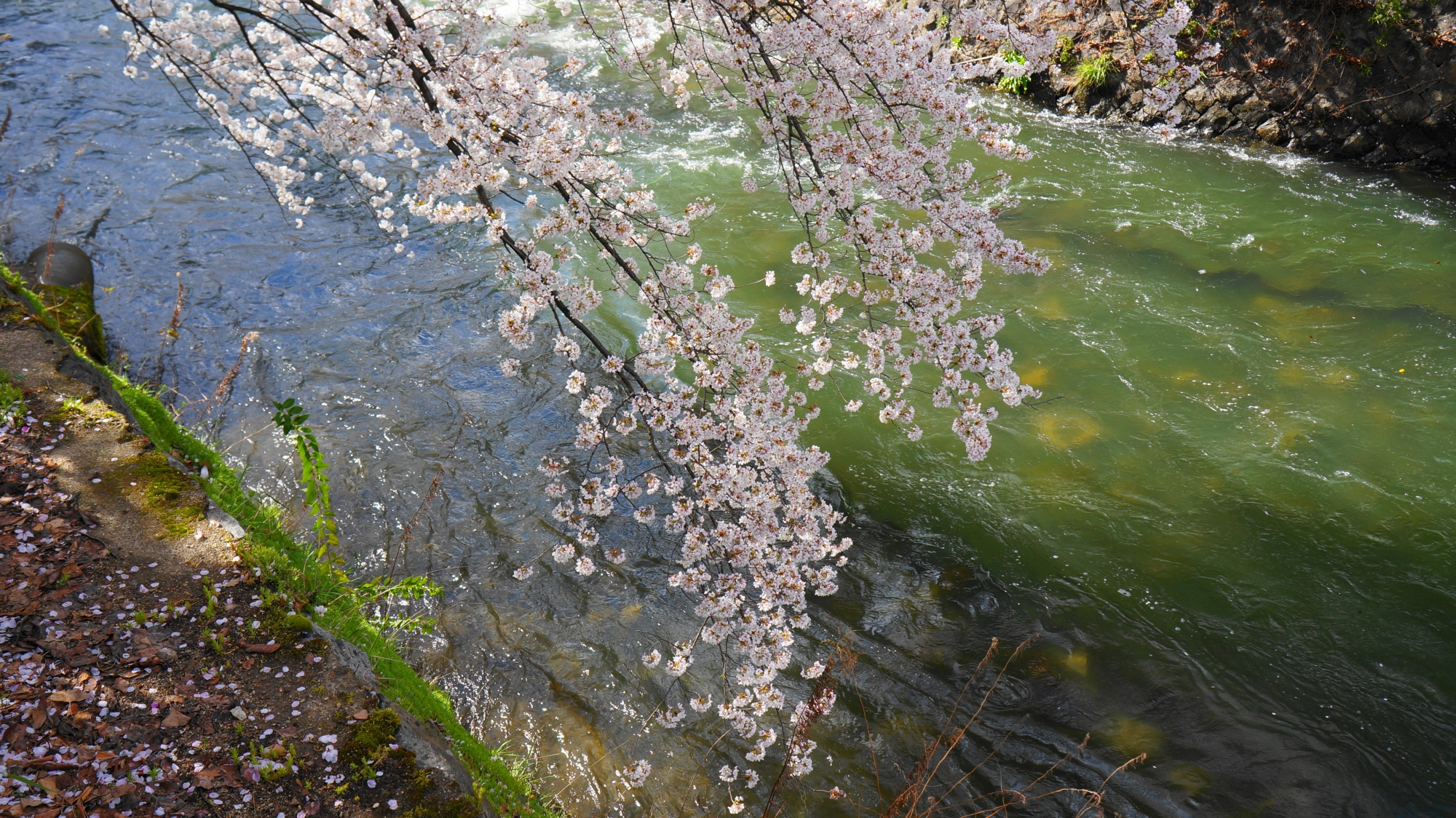 冷泉通りの素晴らしい桜と春の情景