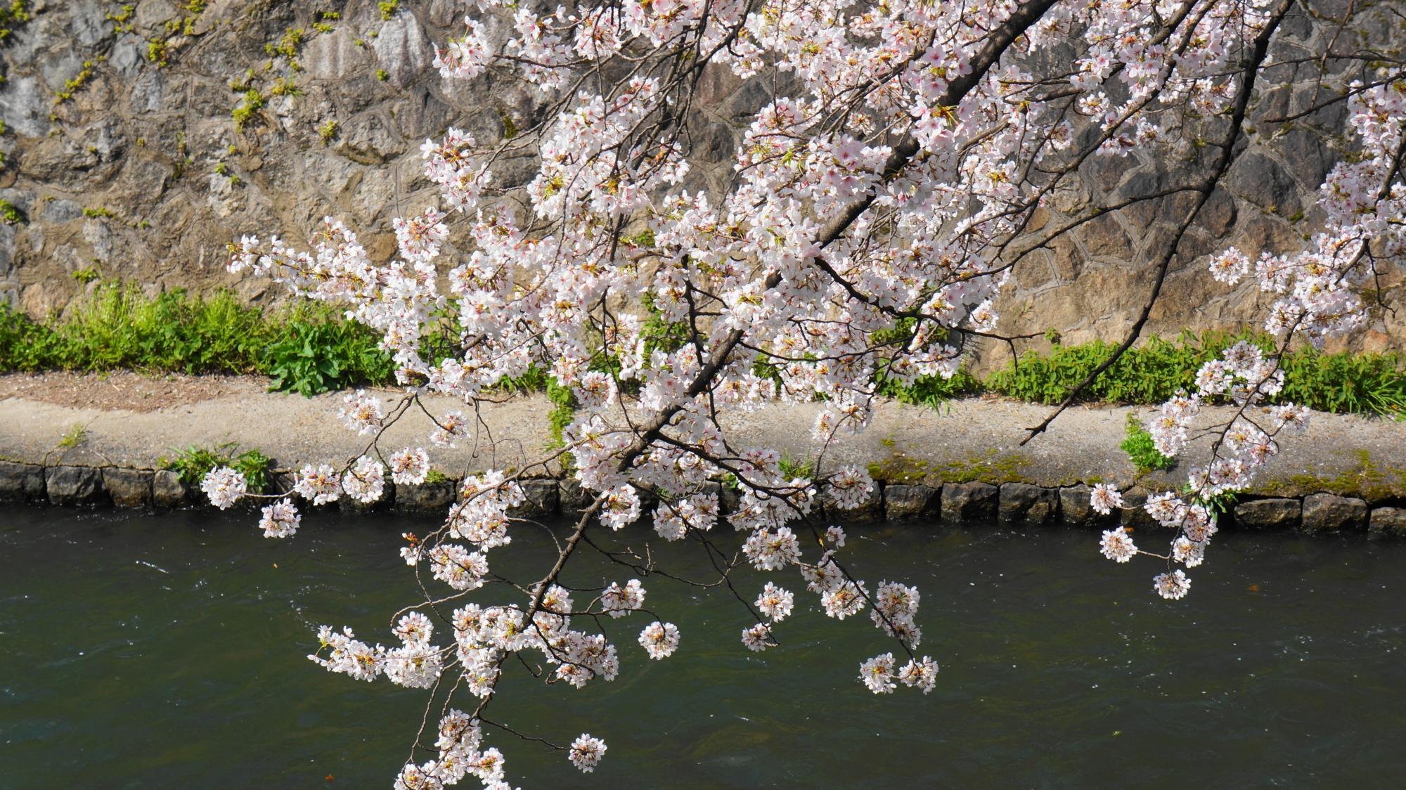 春の水辺を華やかに彩る冷泉通の桜