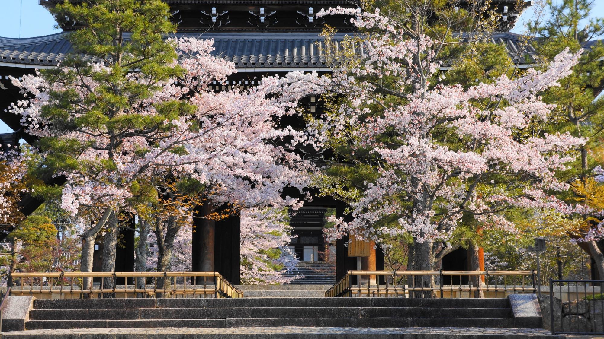 山門の下から続く石段の桜