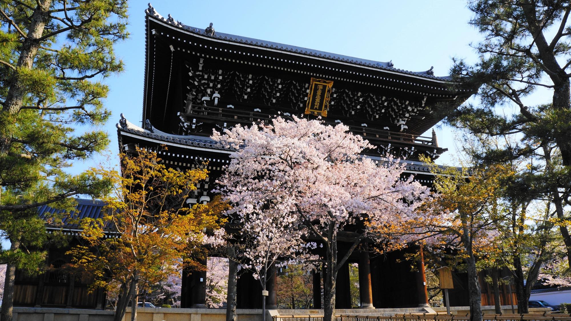 下から見上げた巨大な山門と桜