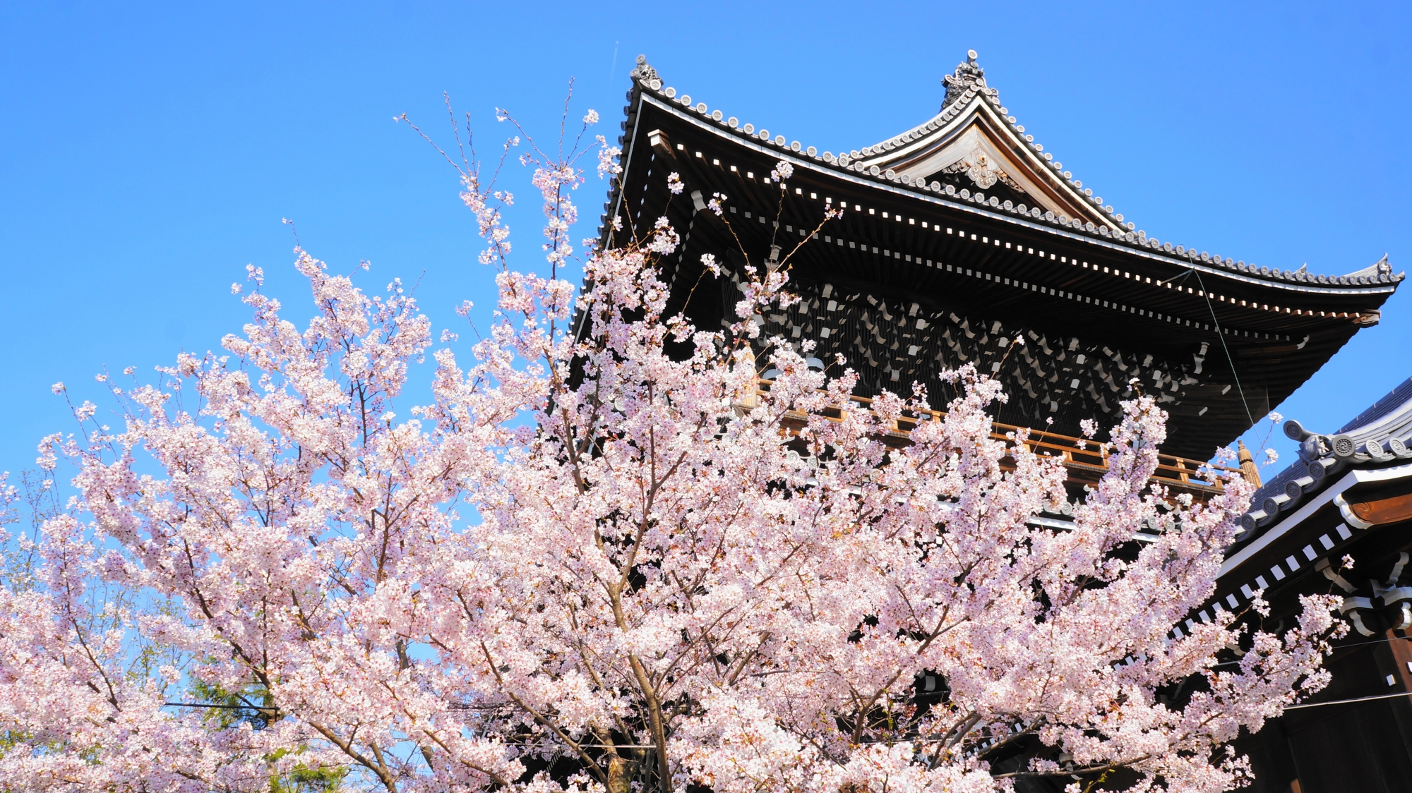 豪快に咲き誇る華やかな桜