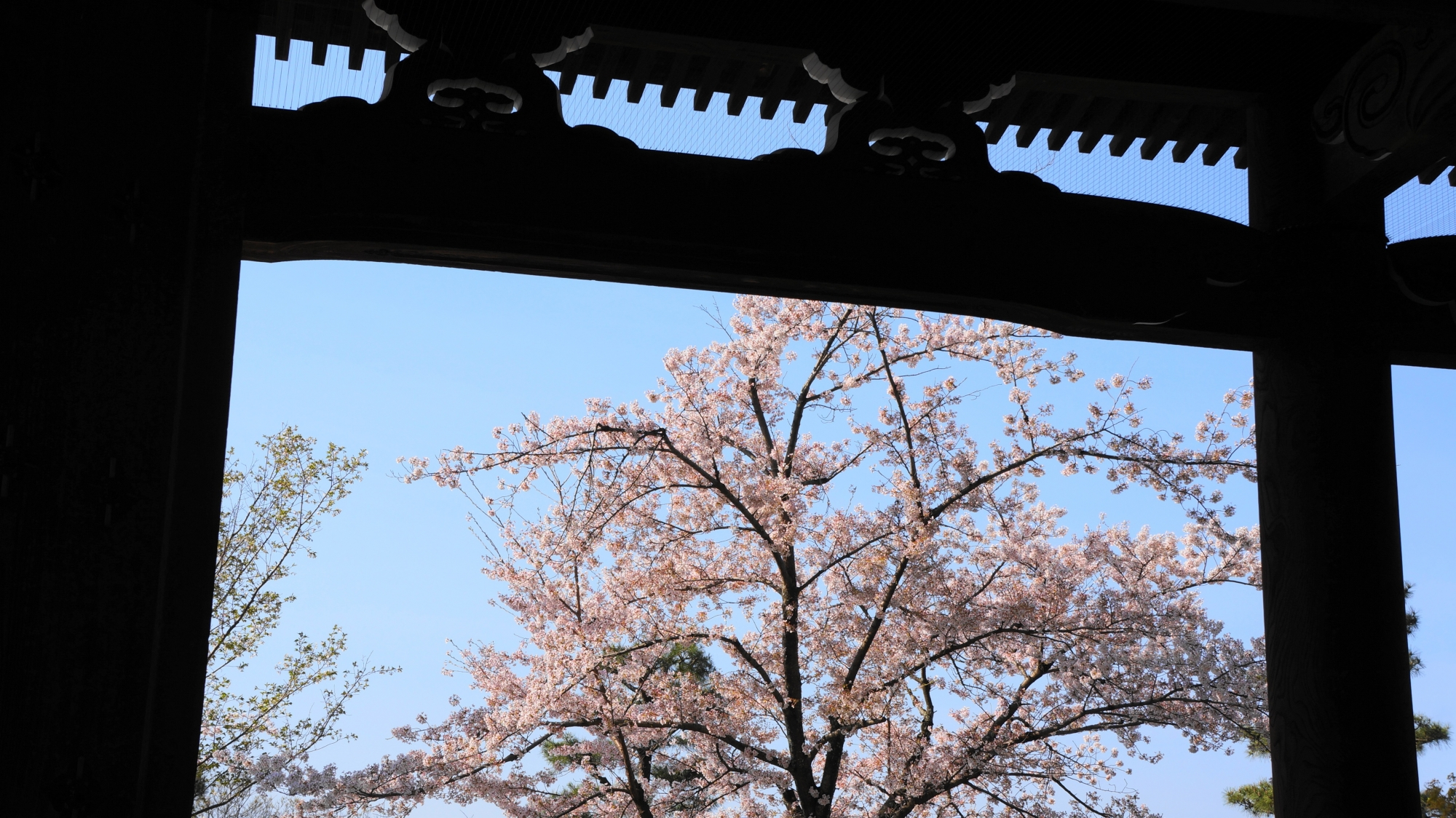 山門の下から眺めた見事な桜