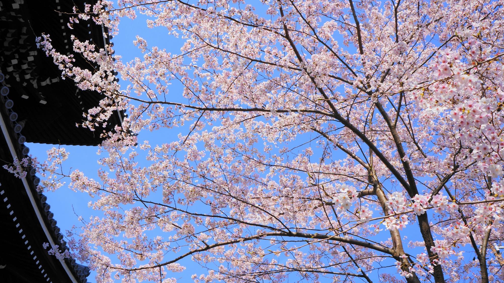 春を彩る雅で華やかな山門と桜