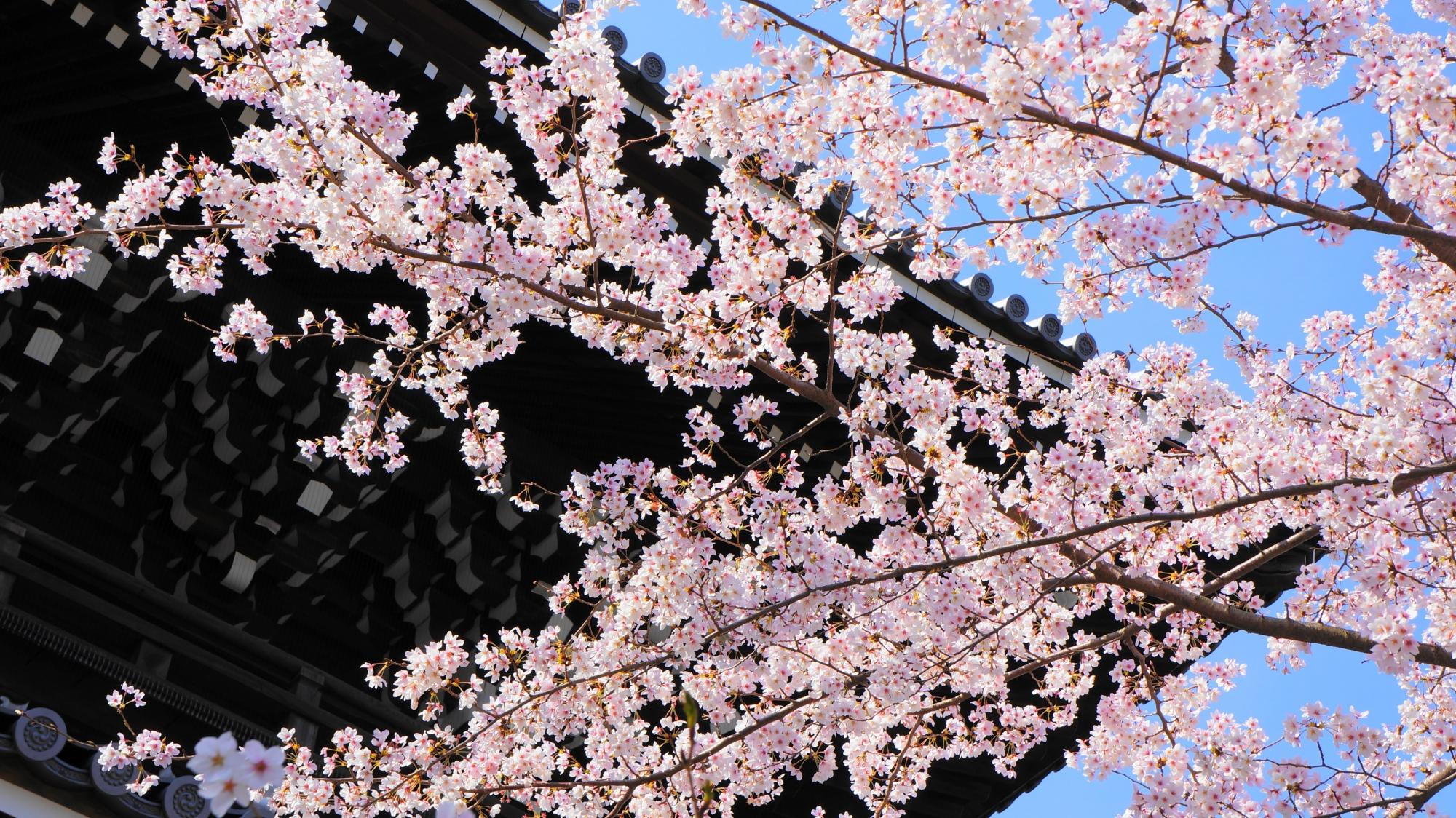 山門と青空を染める華やかなピンクの桜