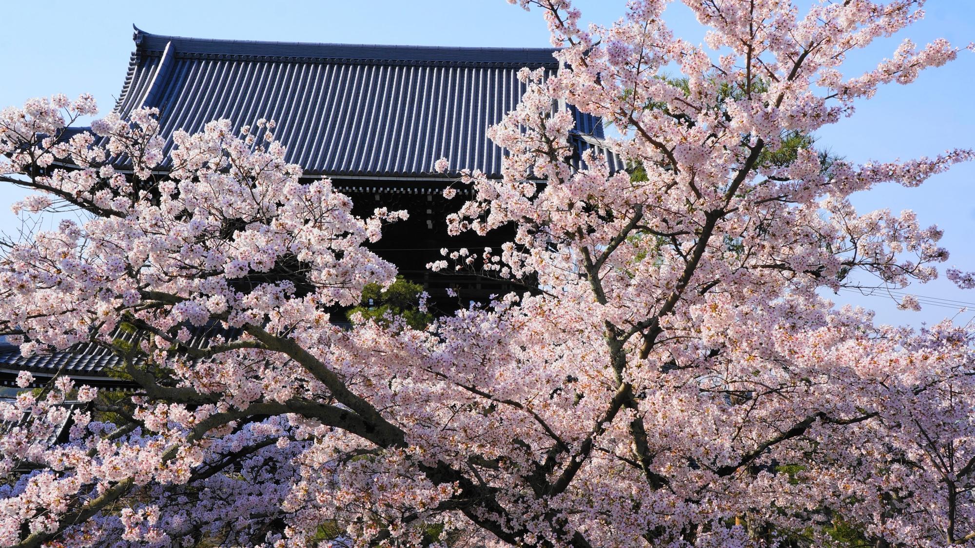 山門をつつむ豪快に咲き誇る桜