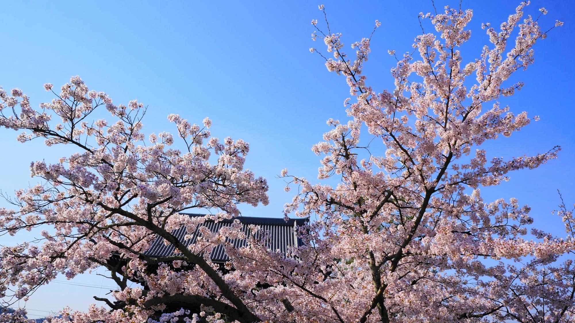 青空と山門を彩る見事な桜