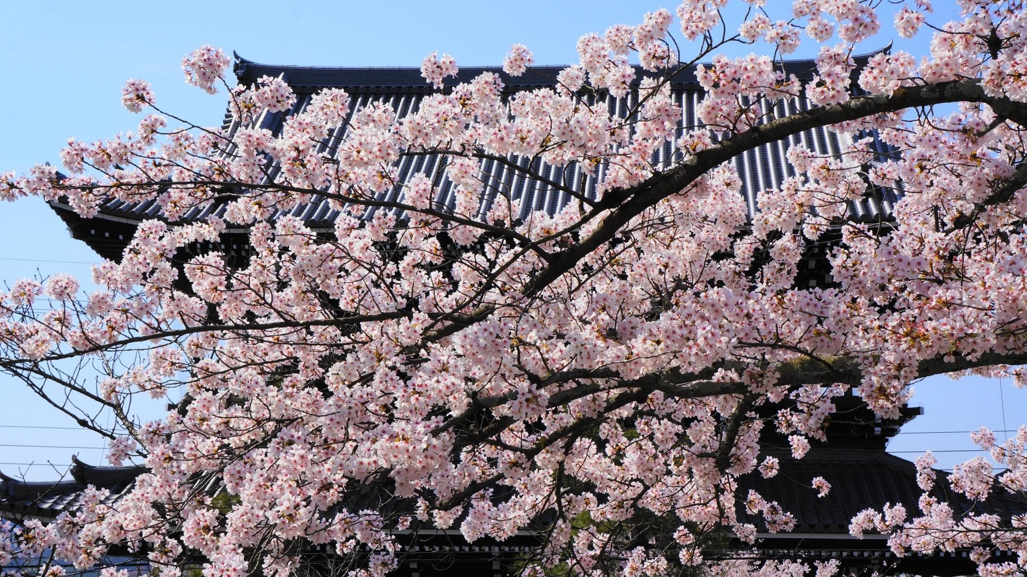 満開の桜につつまれた金戒光明寺の山門
