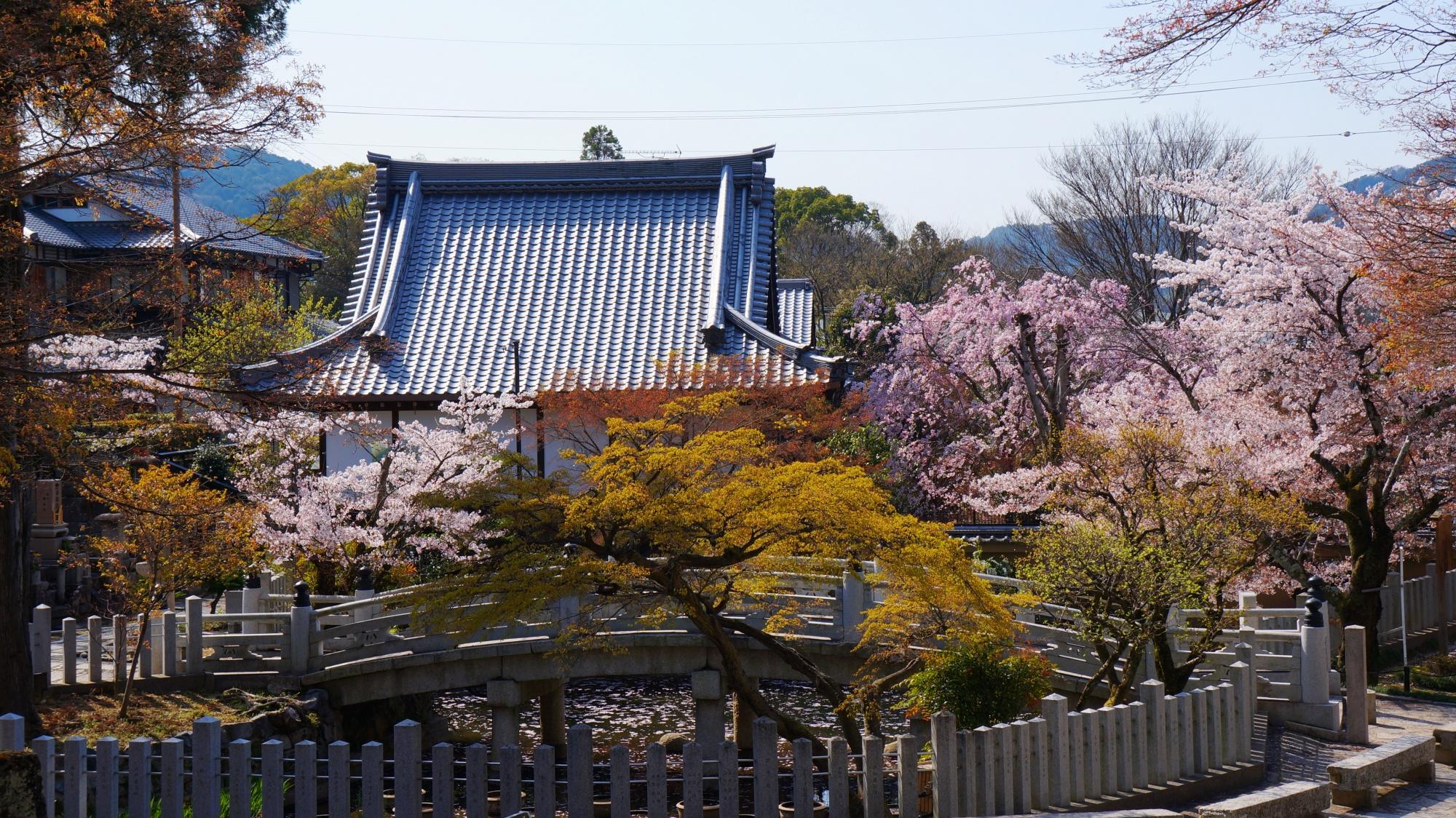 蓮池の極楽橋と桜