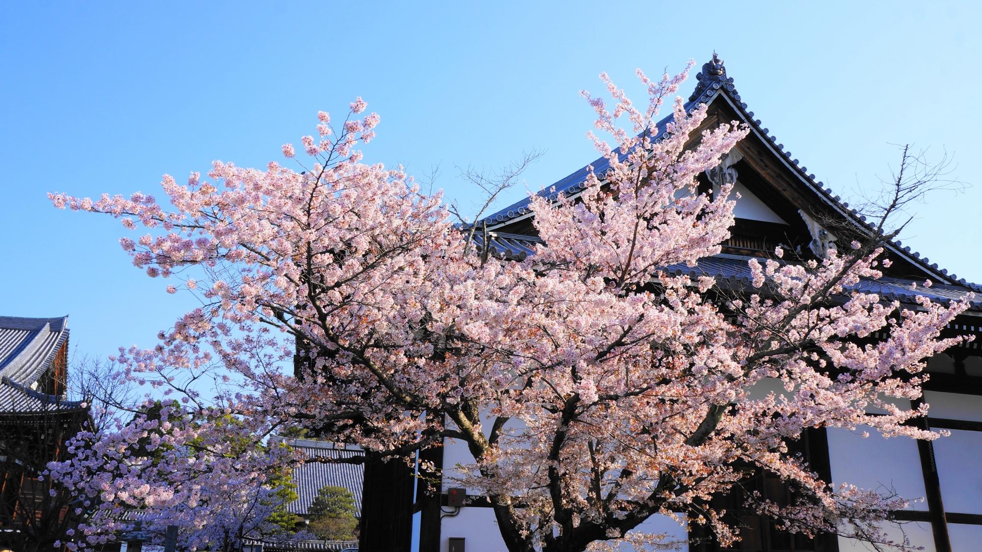 金戒光明寺の阿弥陀堂と上品で華やかな桜