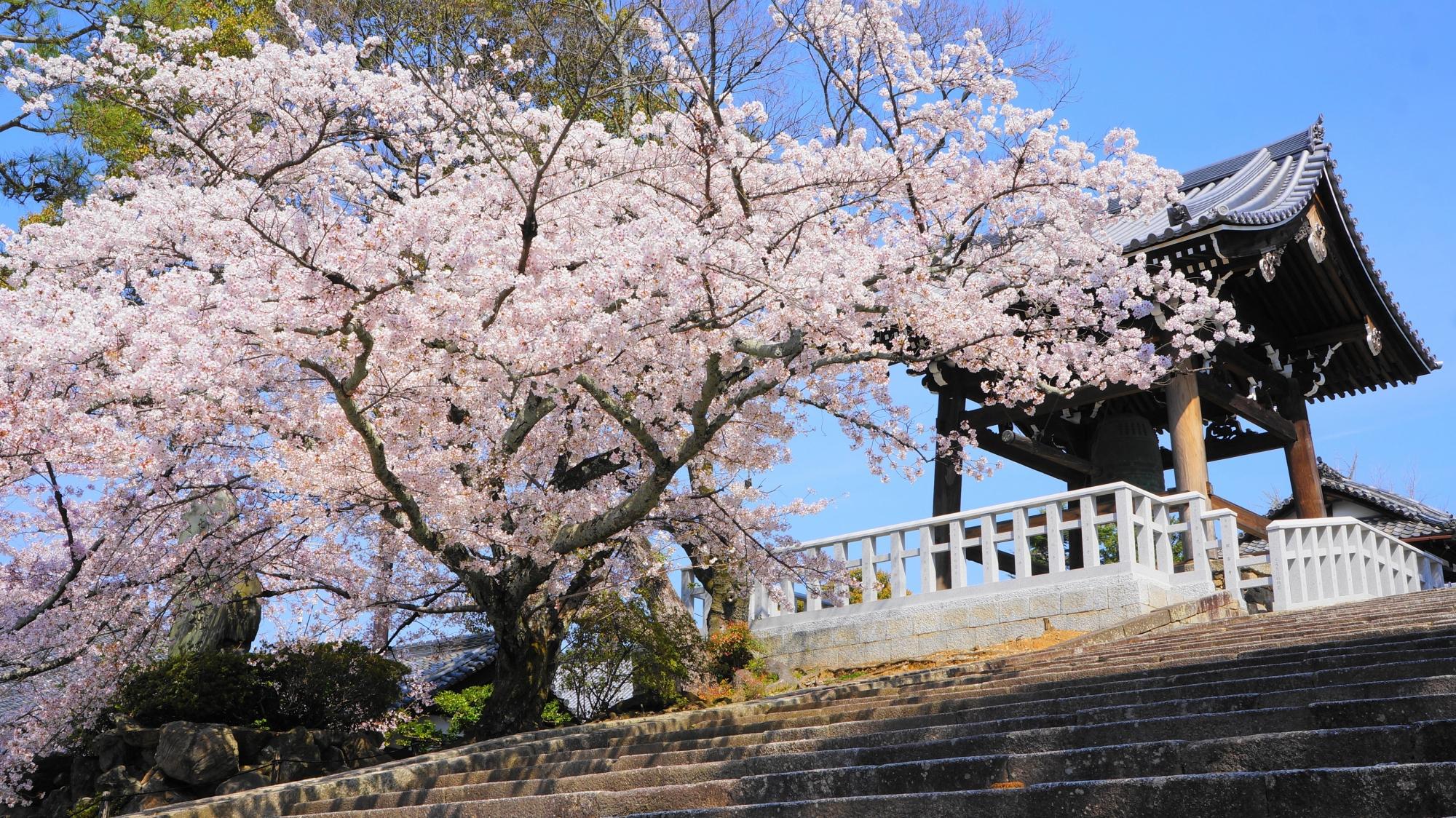 金戒光明寺の鐘楼と桜