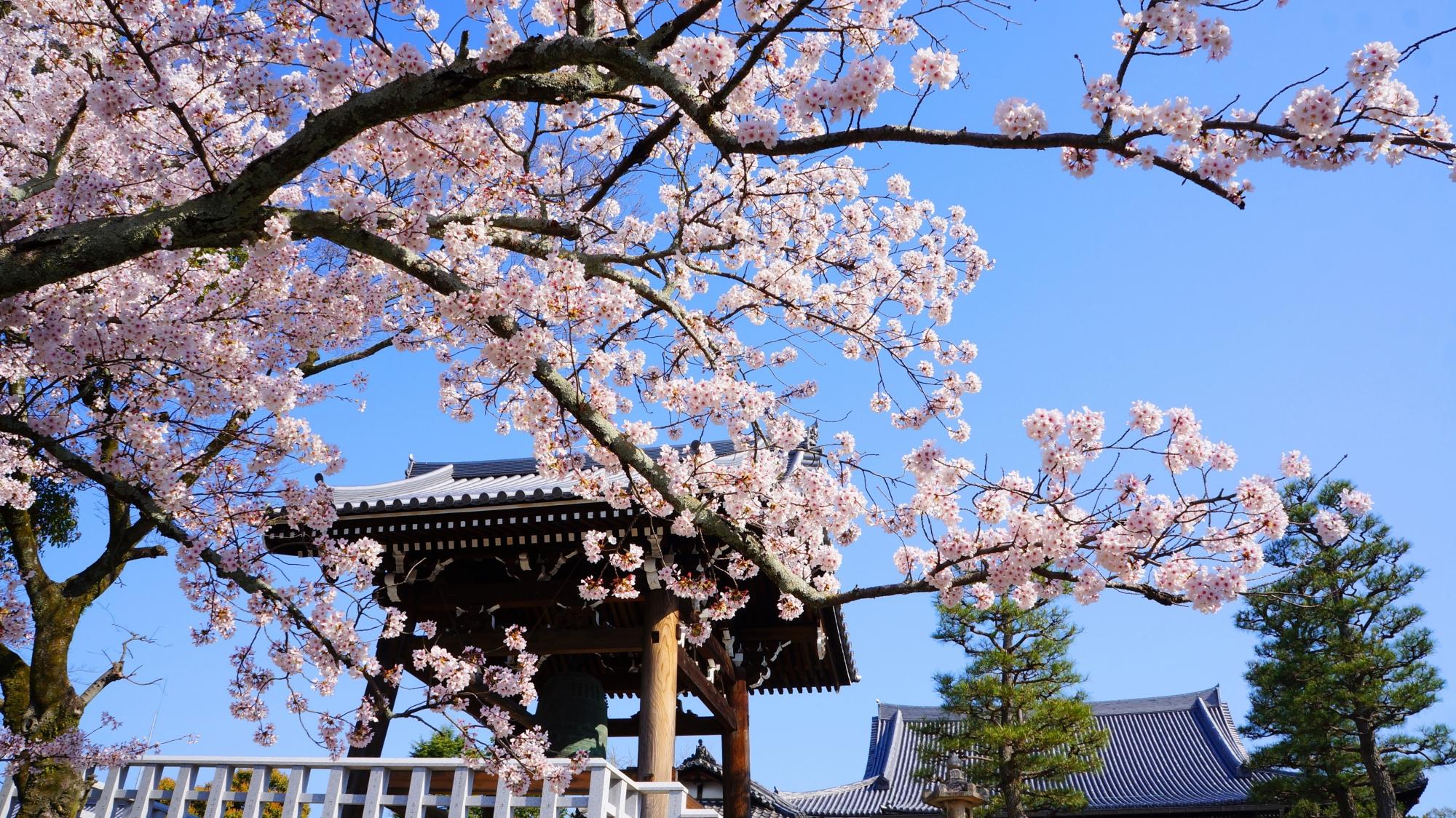 鐘楼と青空をピンクに染める見事な桜