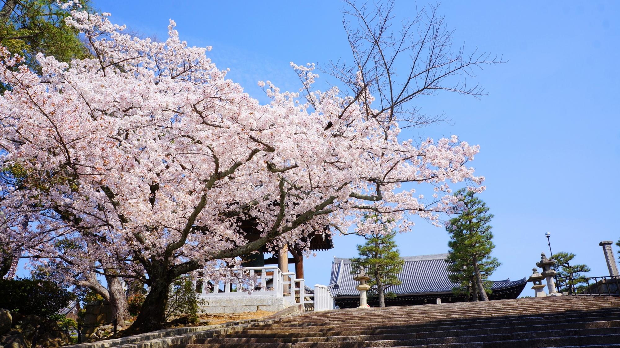 御影堂と石段と桜