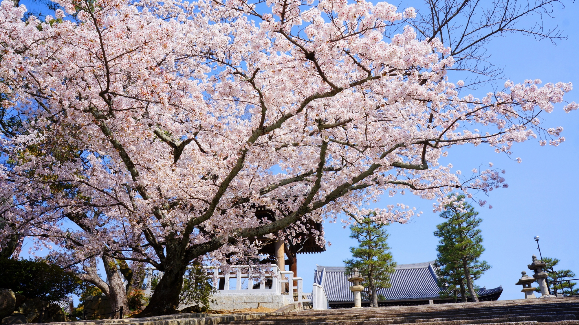 御影堂と石段を華やかに彩る桜
