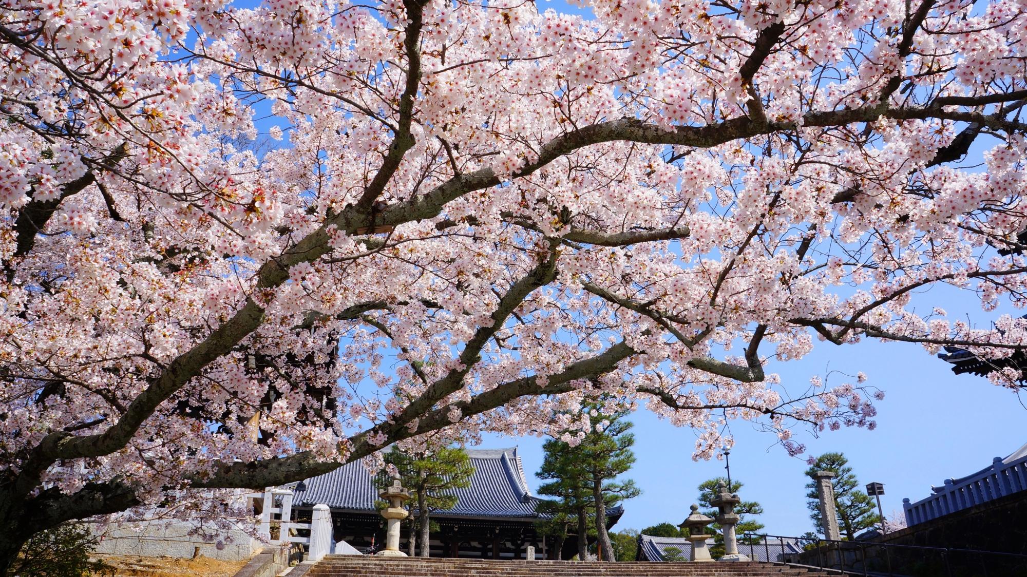 石段の上にせり出す桜
