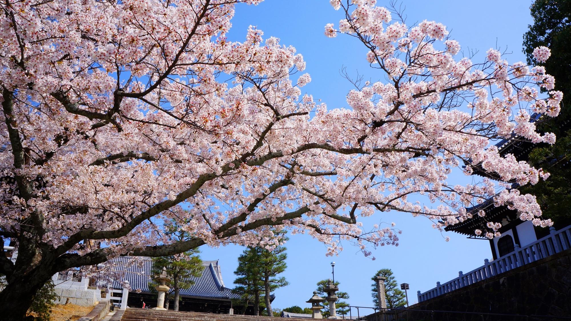青空と伽藍を華やかに染める見事な桜