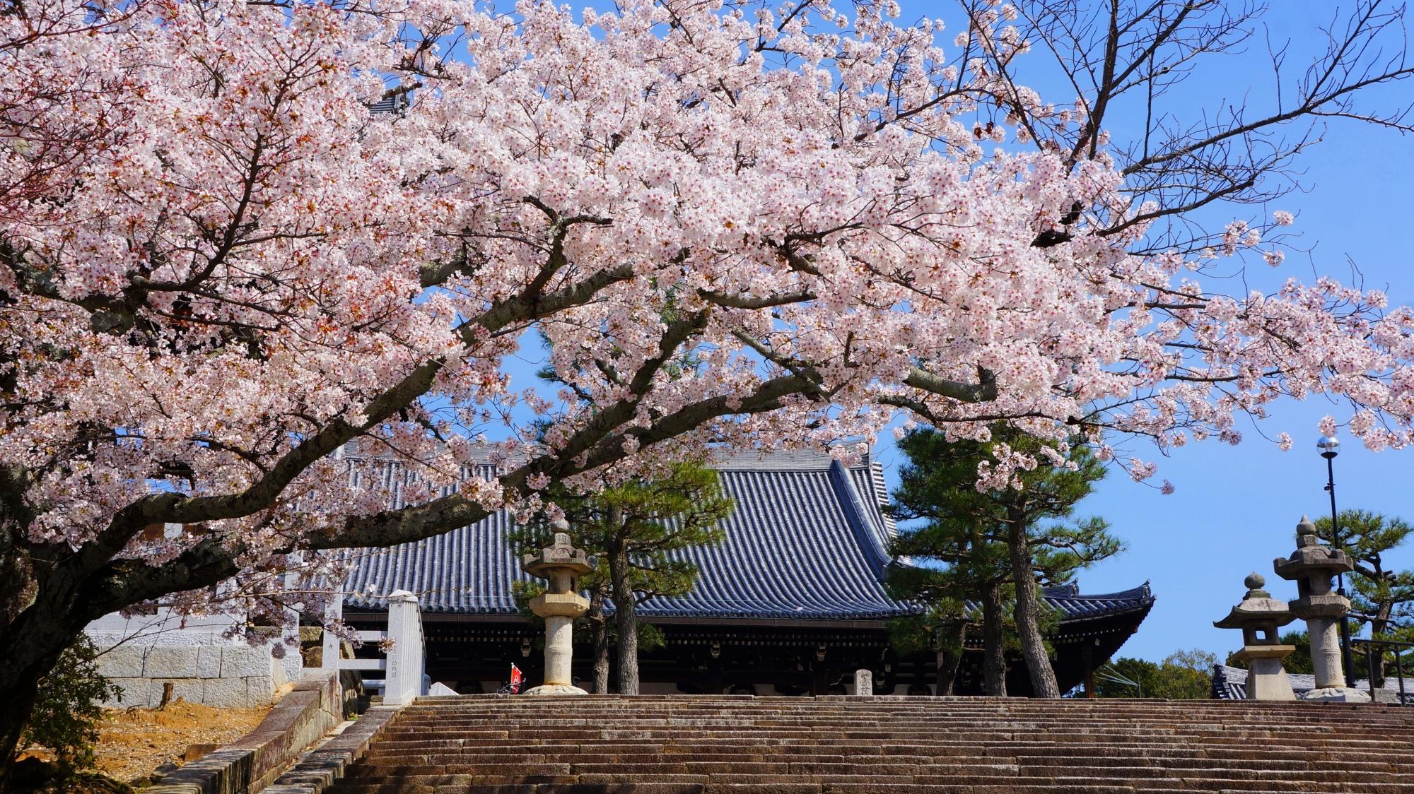 金戒光明寺の華やかな桜と春の情景
