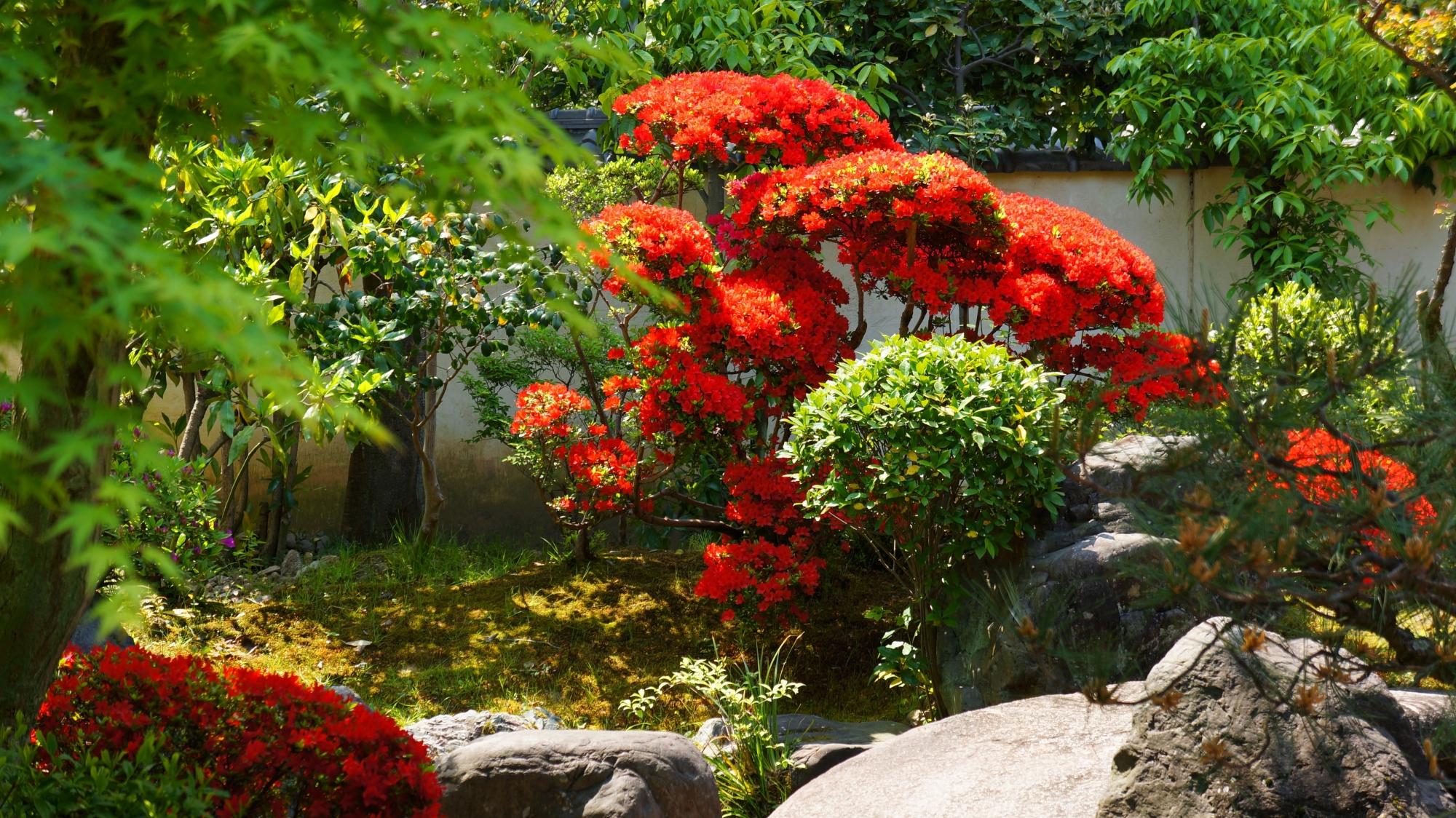庭園の奥に咲く鮮やかな赤いキリシマツツジ
