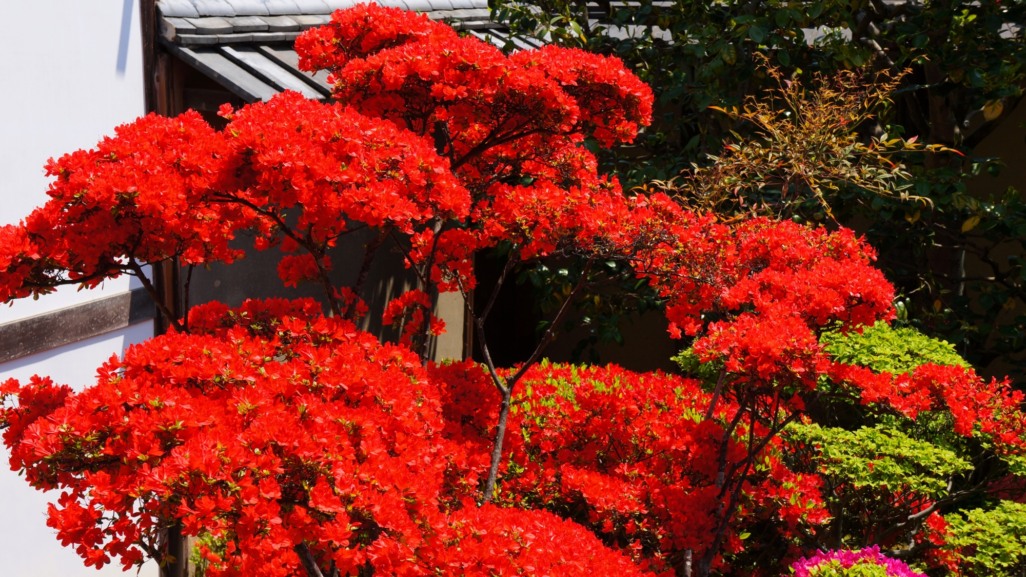 鮮烈な色合いの真っ赤に咲くつつじ